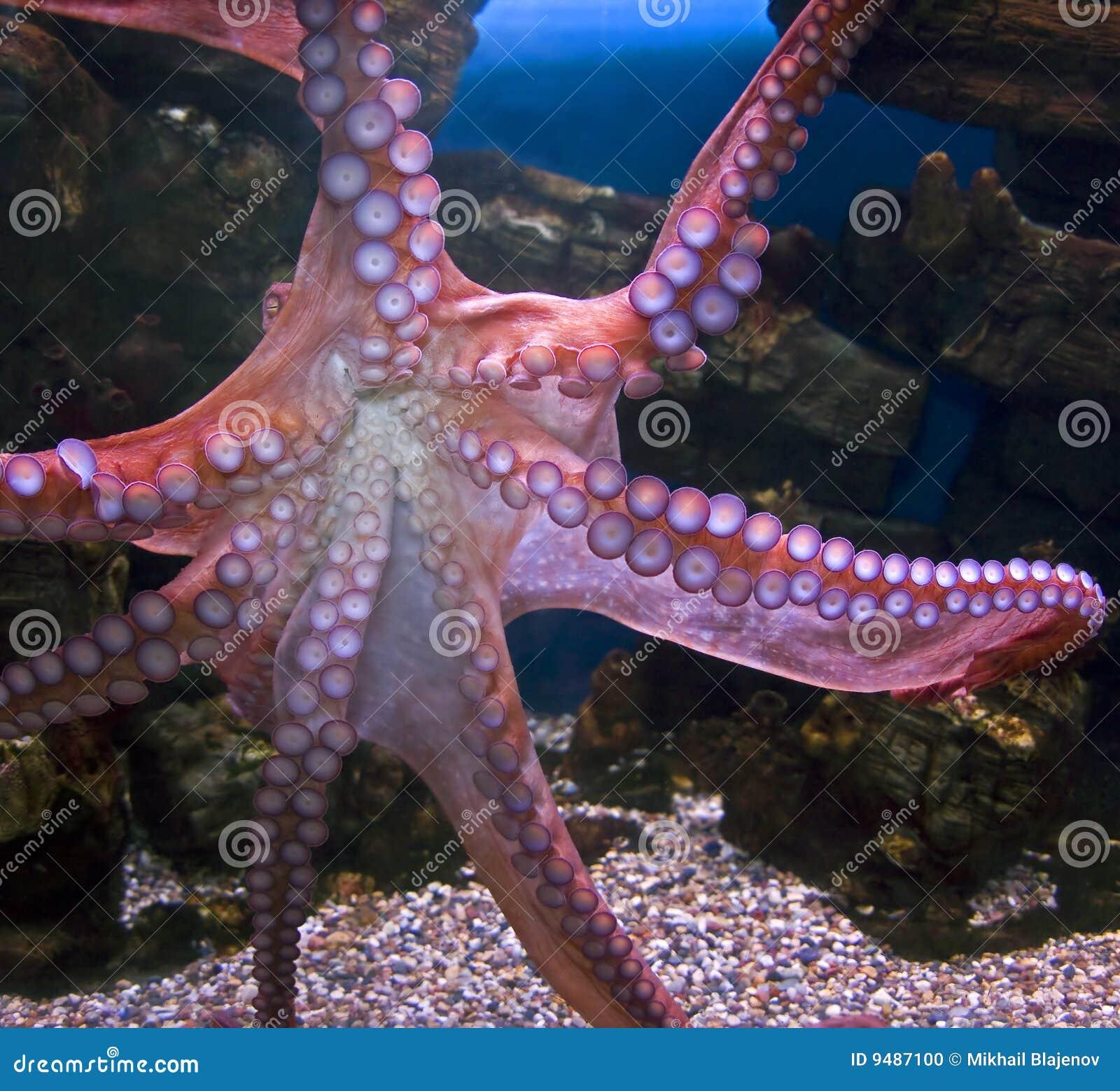 Stillahavs- bläckfisk för 3 jätte