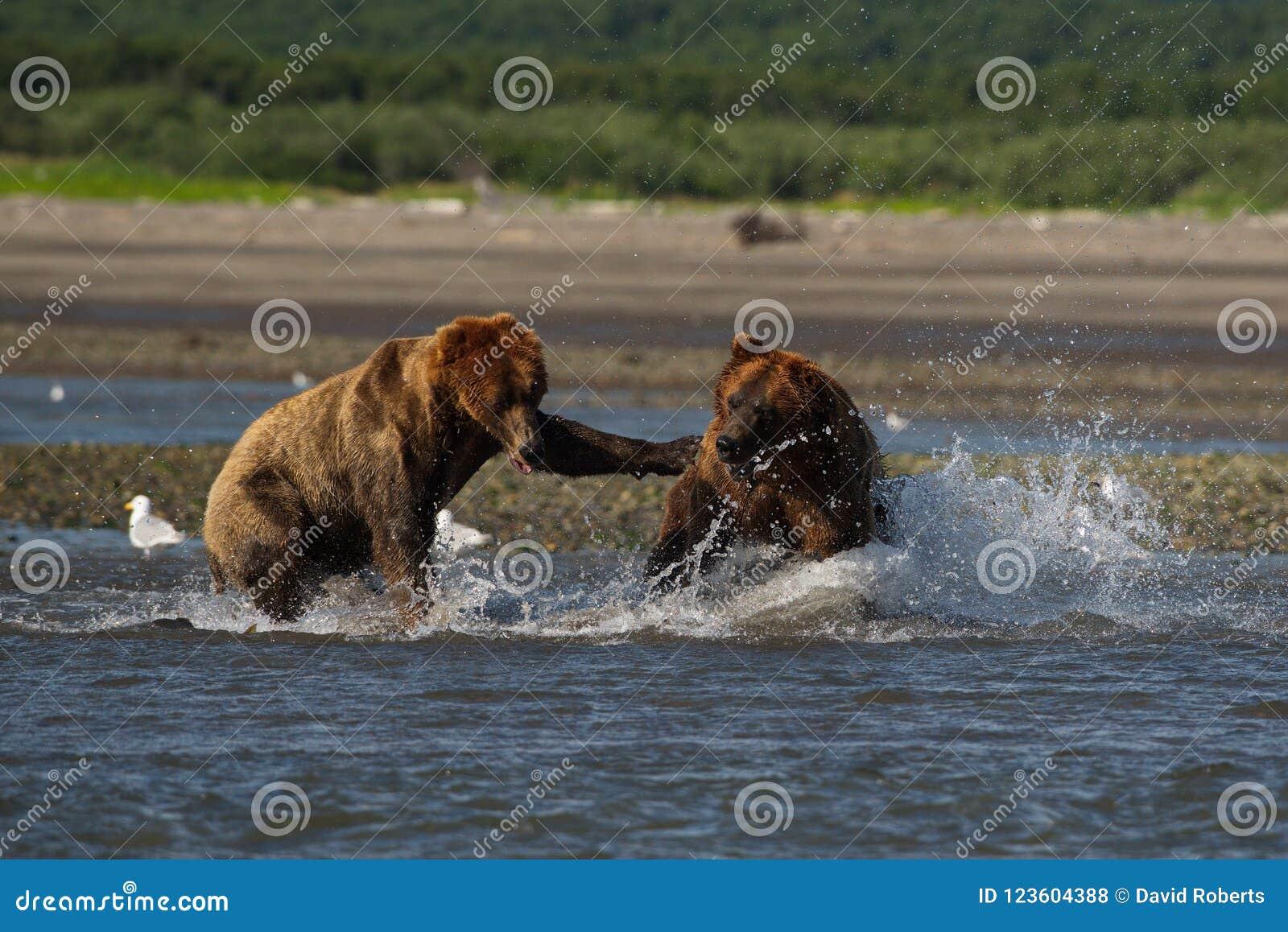 Stillahavs- kust- brunbjörnususarctos som slåss - som är grizzliy -