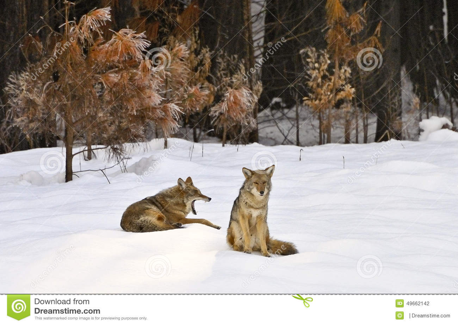 Stillstehende wilde Kojoten im Schnee, Yosemite-Tal, Yosemite Nationalpark