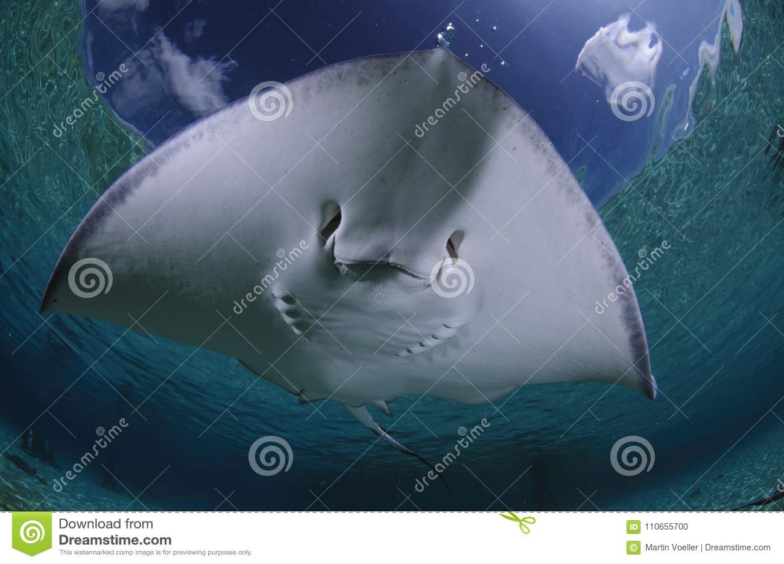 Sting Ray Gliding Over Sandy Bottom of Bahamas