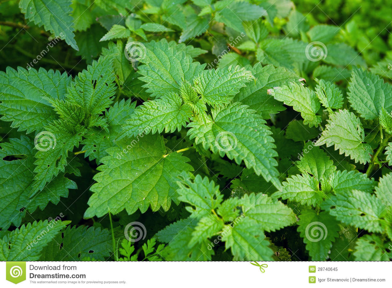 Natural Remedy For Stinging Nettle