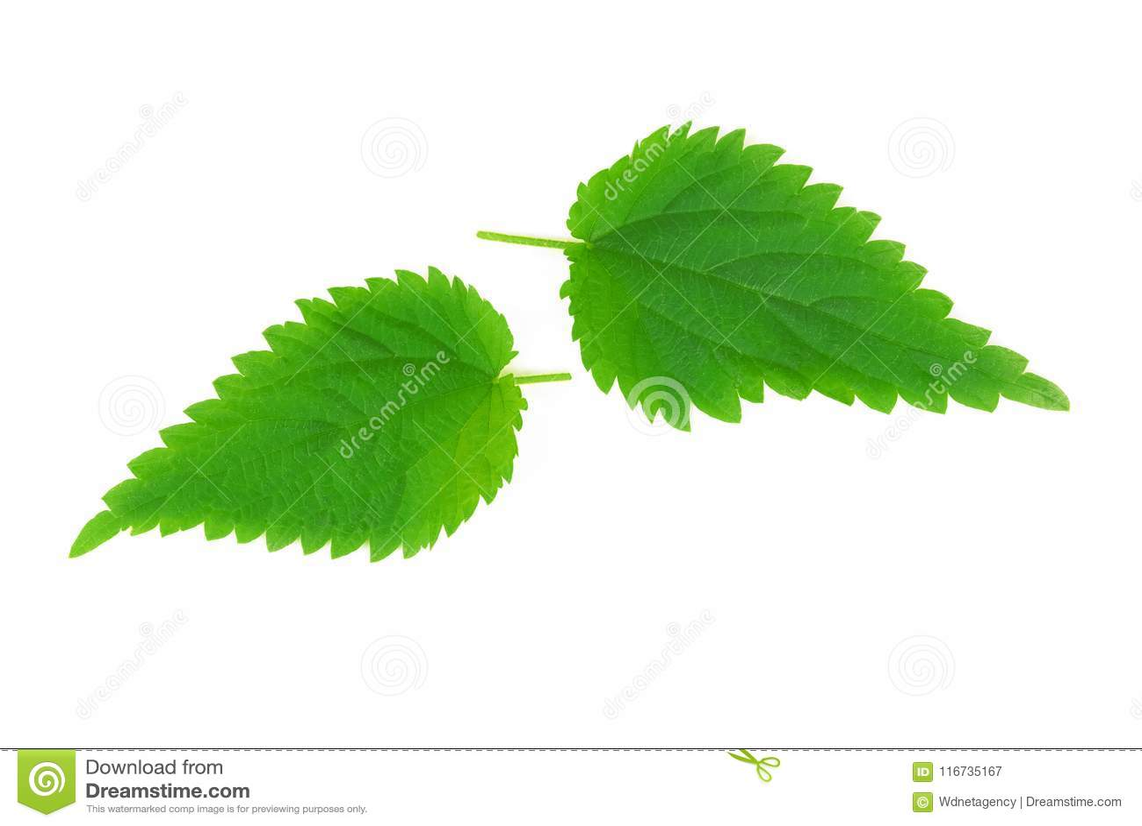 Leaves of nettle