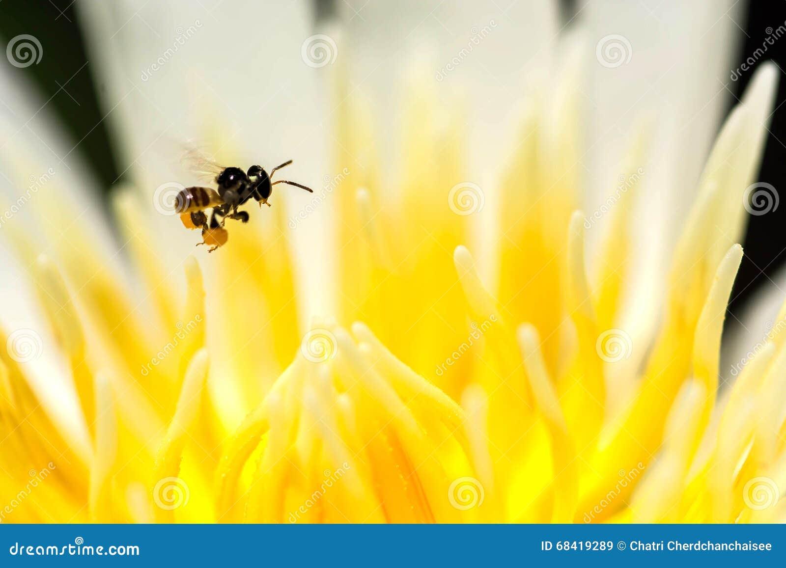 Stingless bij die op lotusbloemstuifmeel vliegen