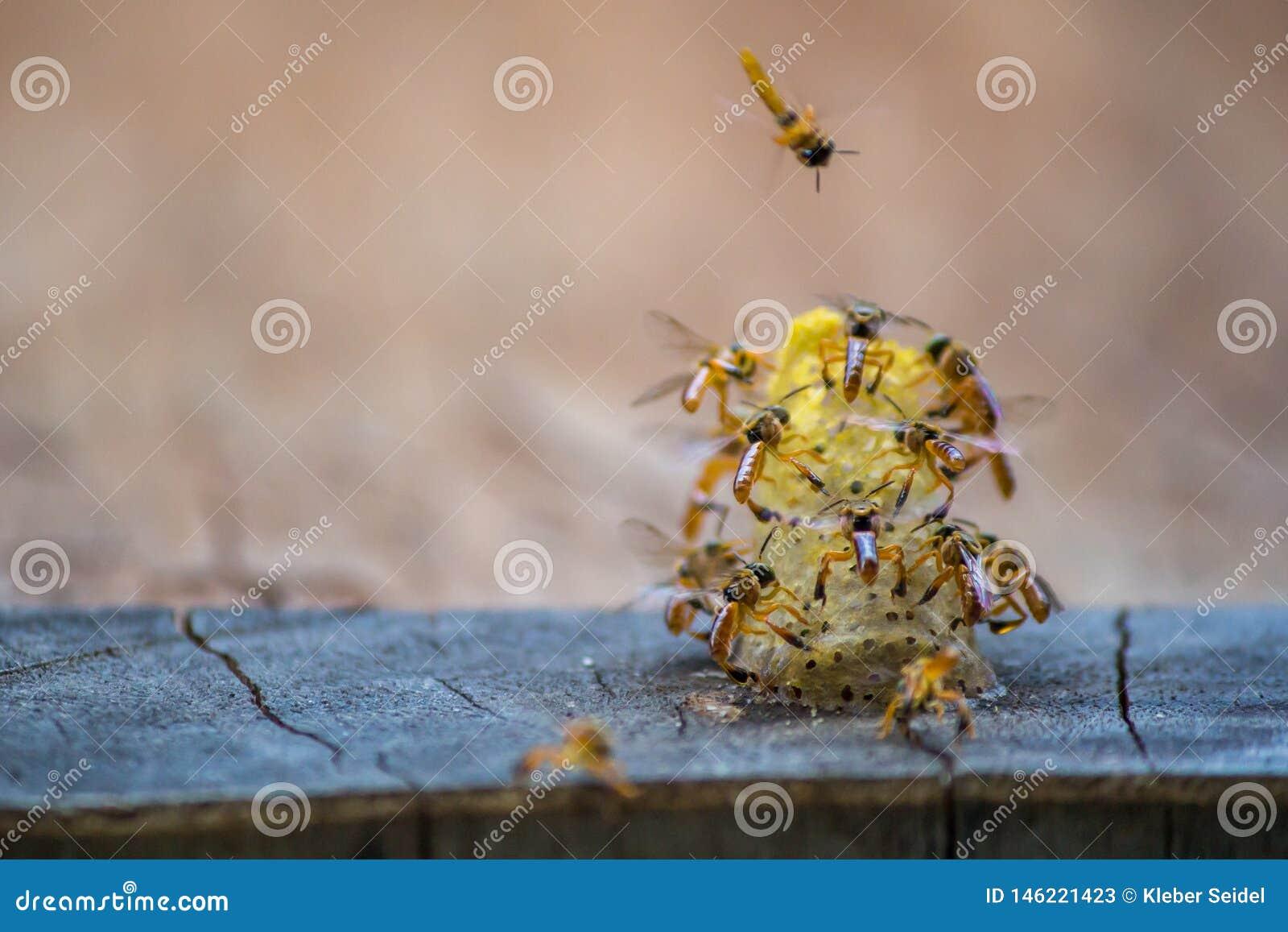 Stingless bin som flyger runt om redet, Stingless bin på redehålet, brun bakgrund, Apinae, Brasilien