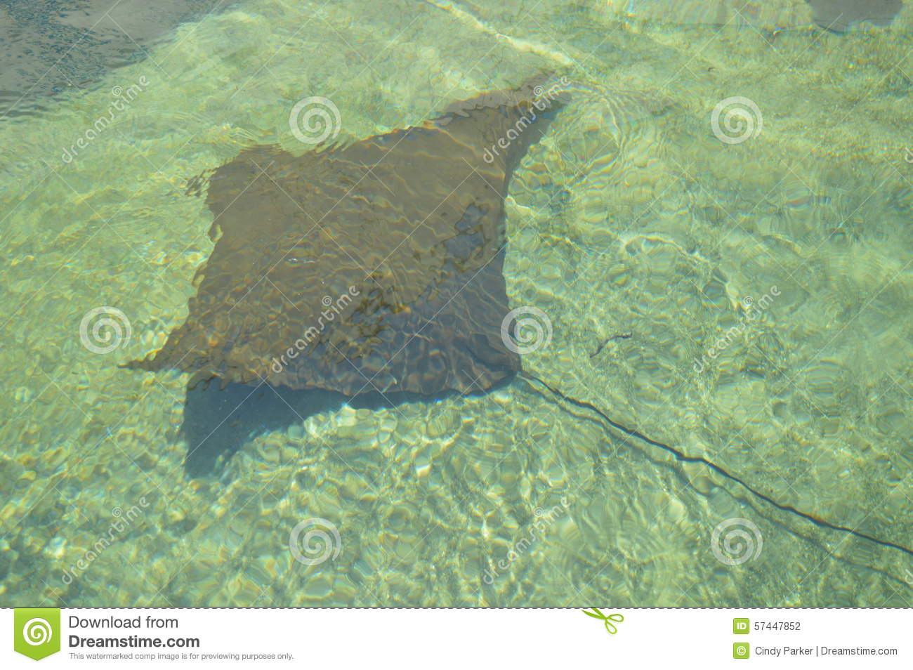 Stingray Stock Photo Image 57447852