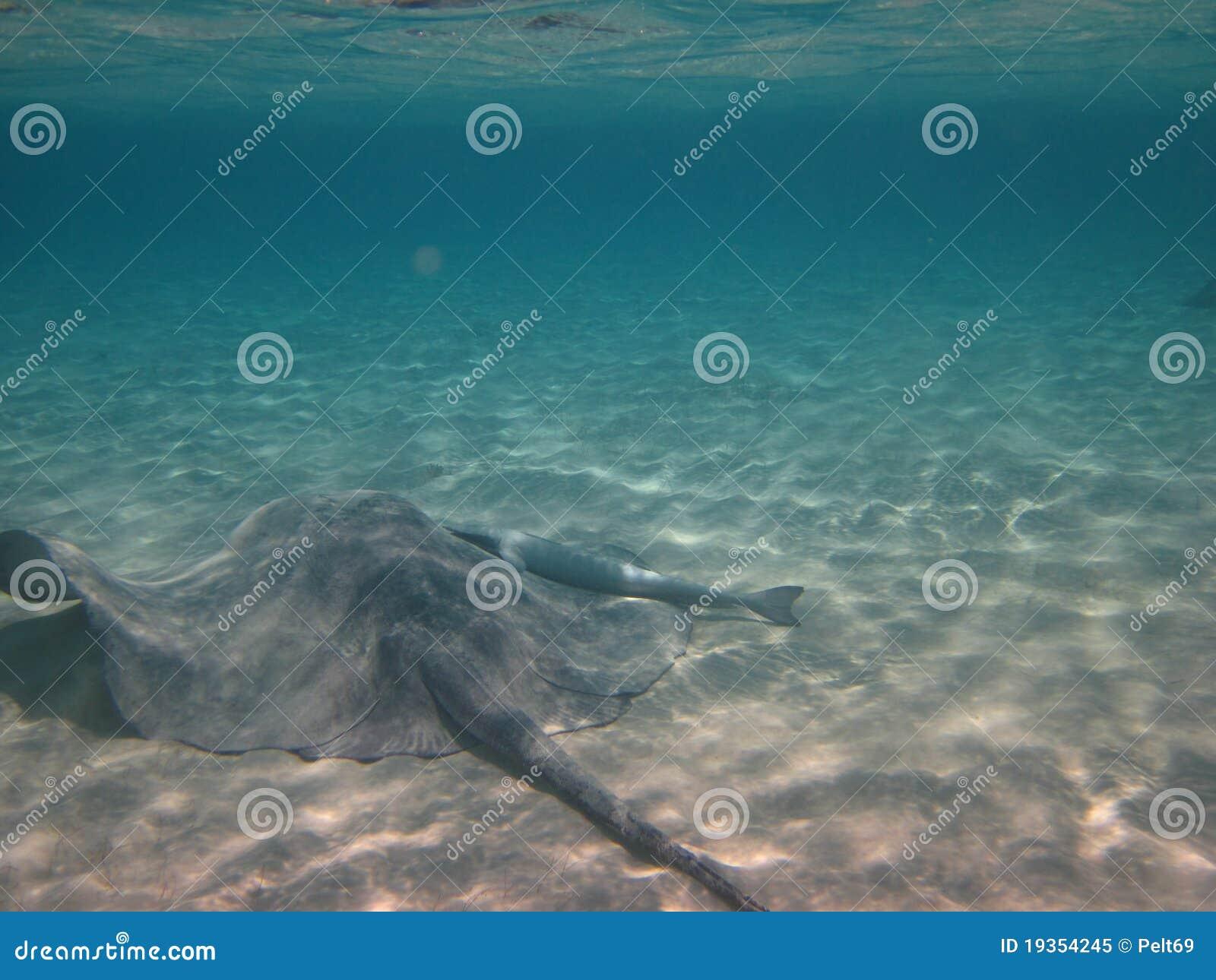 Stingray no mar