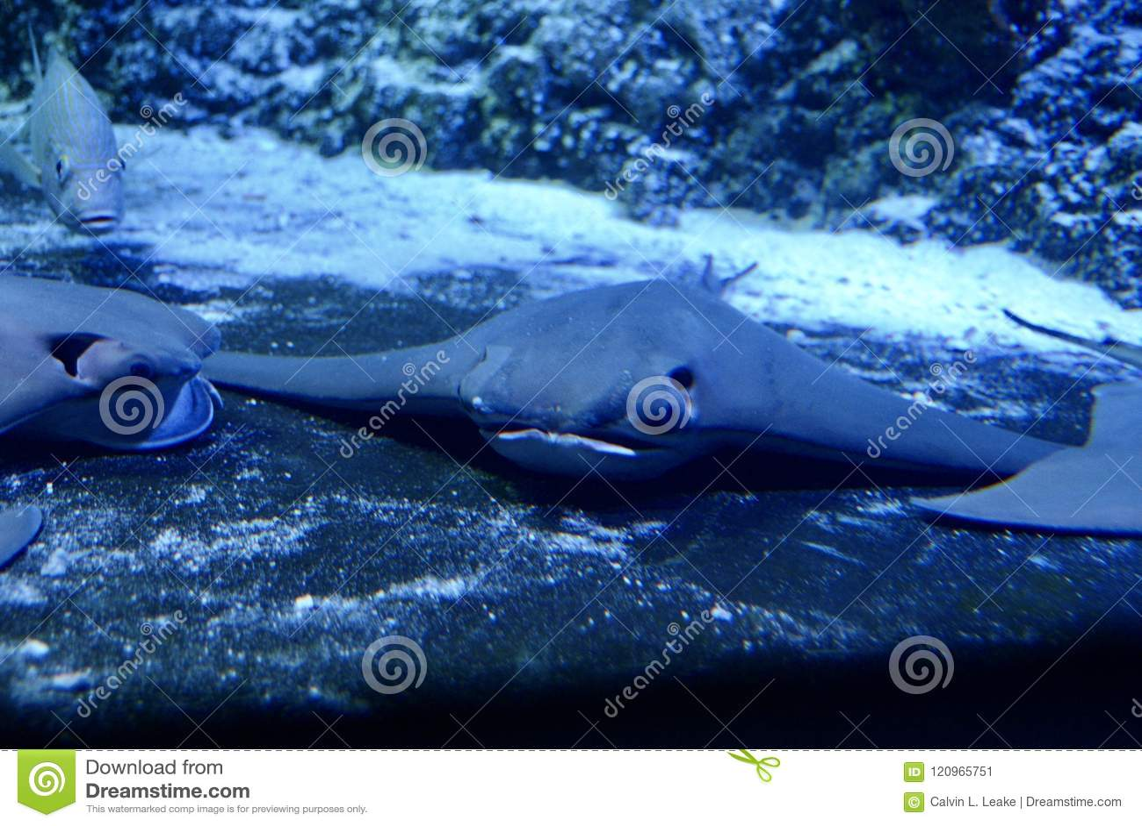 Stingray in the Ocean stock image  Image of aquatic - 120965751