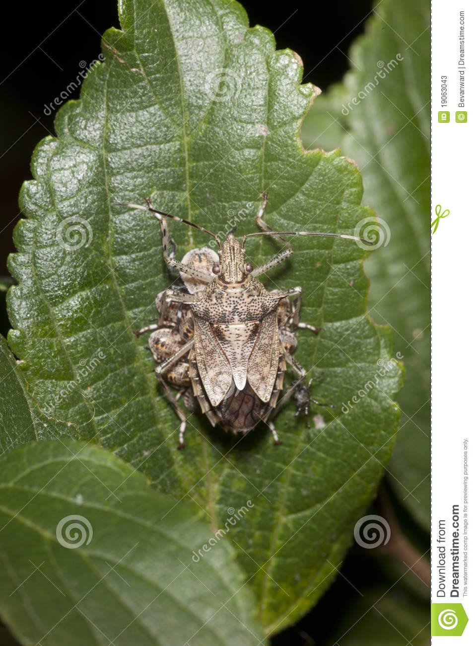 Stink Bug With Babies Stock Image Image Of Babies