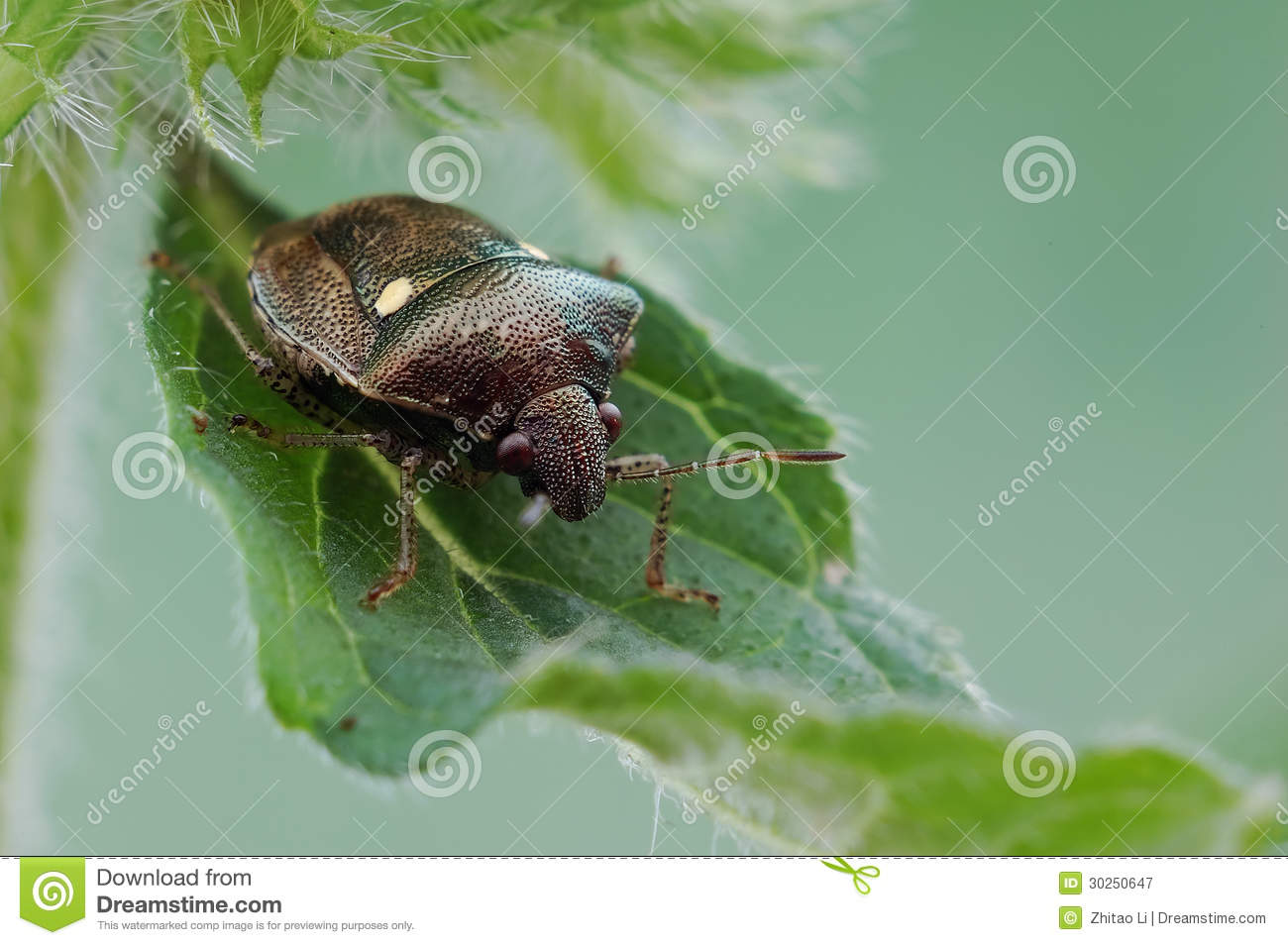 Stink insect