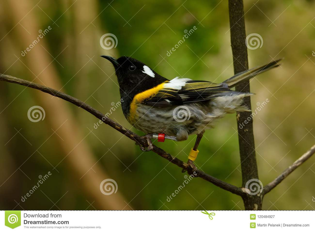 Stitchbird - Notiomystis cincta - Hihi in Maori language, endemic bird sitting on the branch in the New Zealand forest