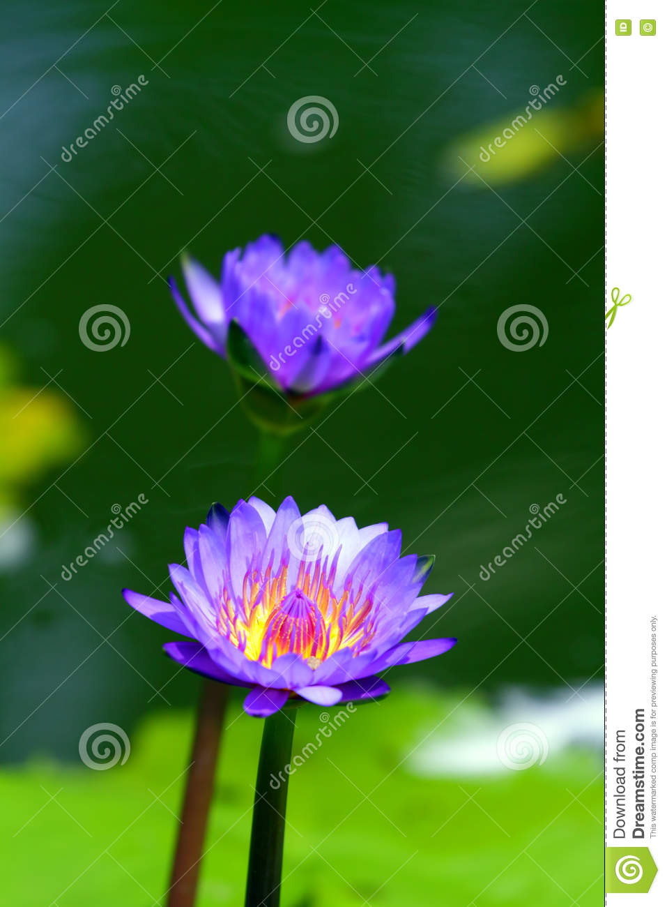 Stock Image Of Blossom Lotus Flower In Japanese Pond Stock Image