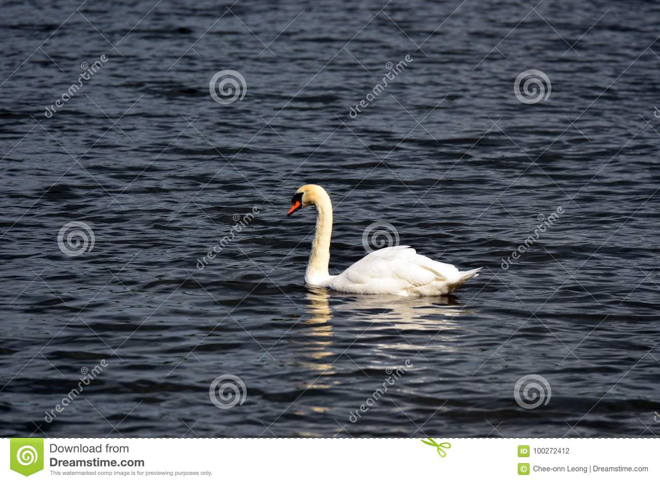 Stock image of Lake with a white swan