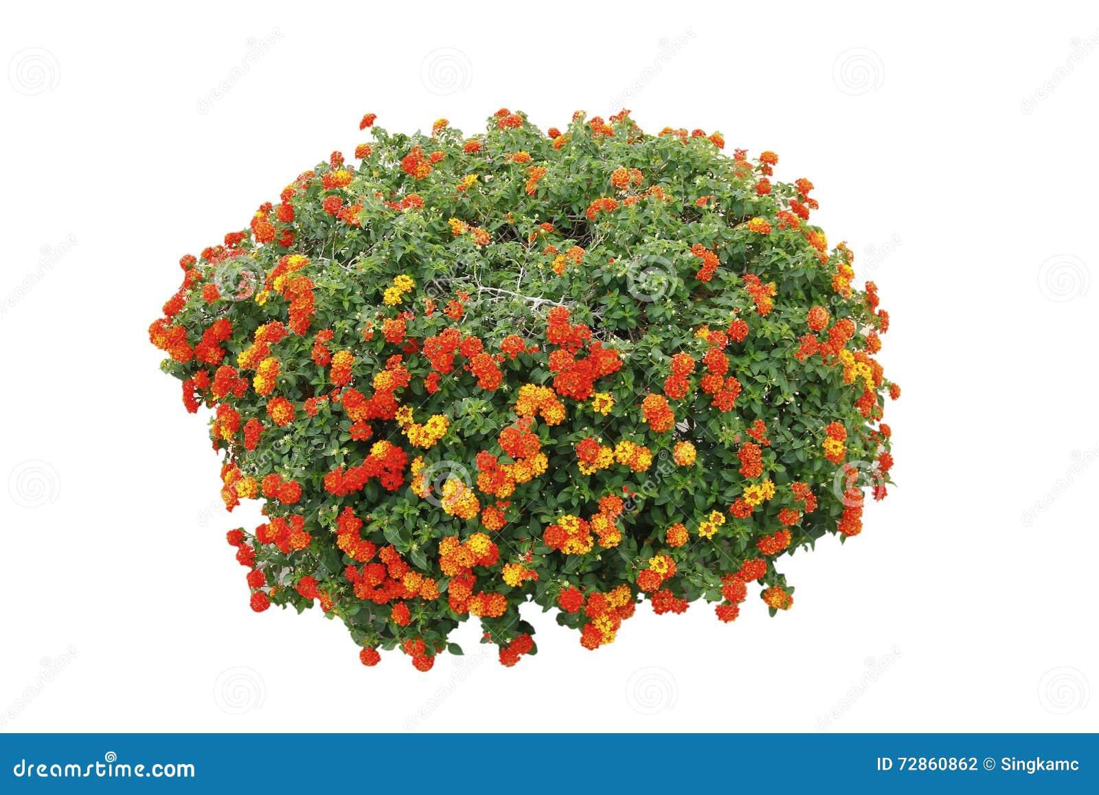Stock Flower Bush Isolated White Background Stock Image 728