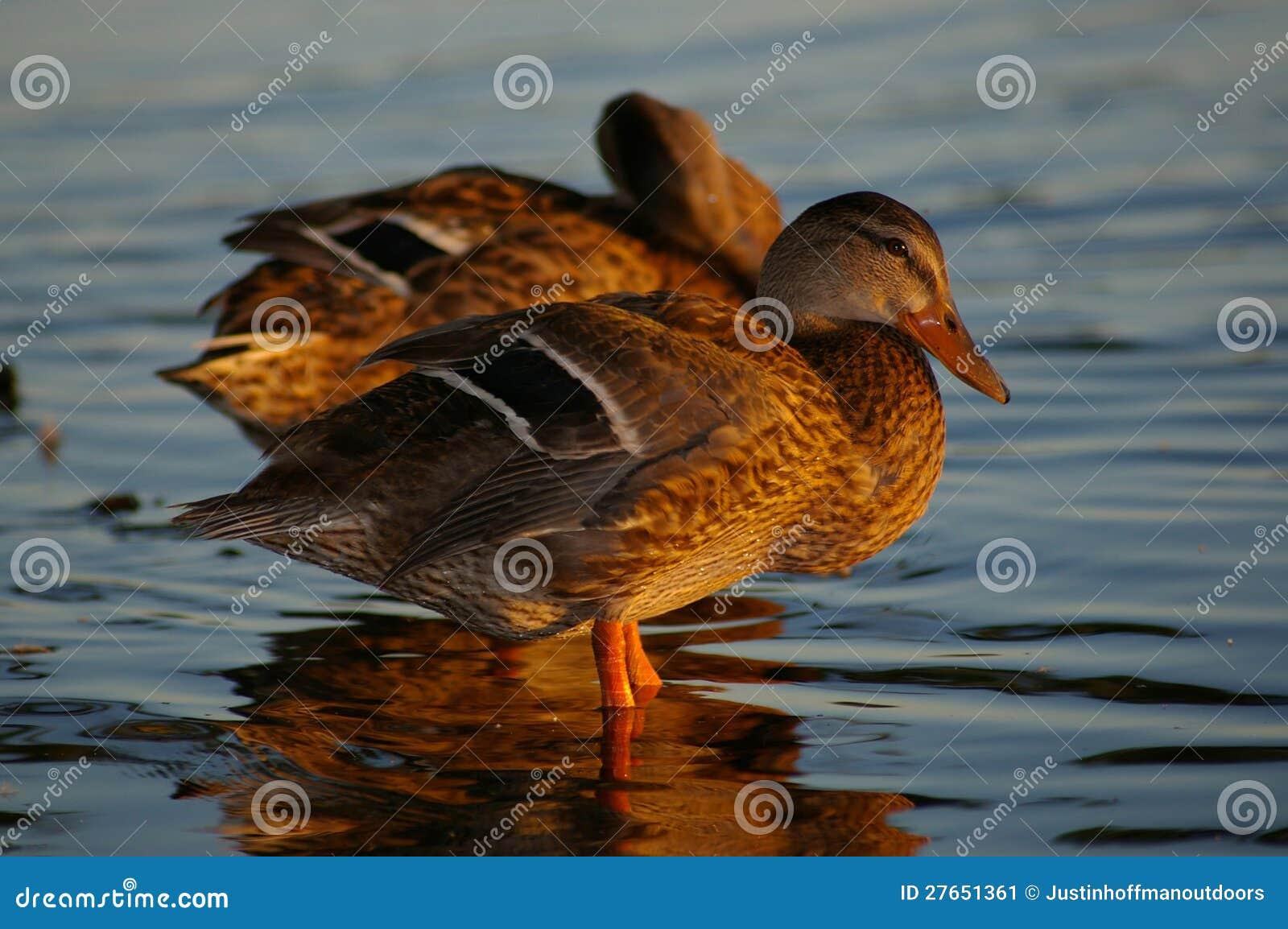 Stockenten-Enten