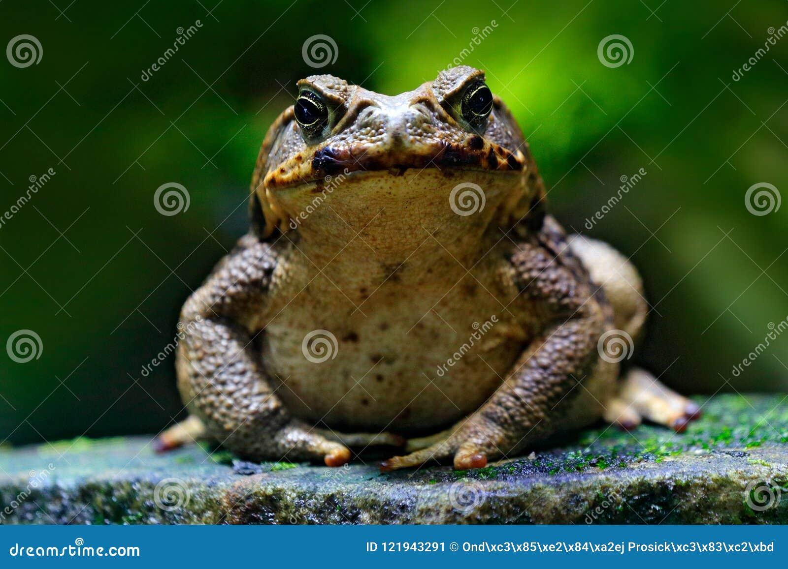 Stockkröte, Rhinella-Jachthafen, großer Frosch von Costa Rica Stellen Sie Porträt der großen Amphibie im Naturlebensraum gegenübe