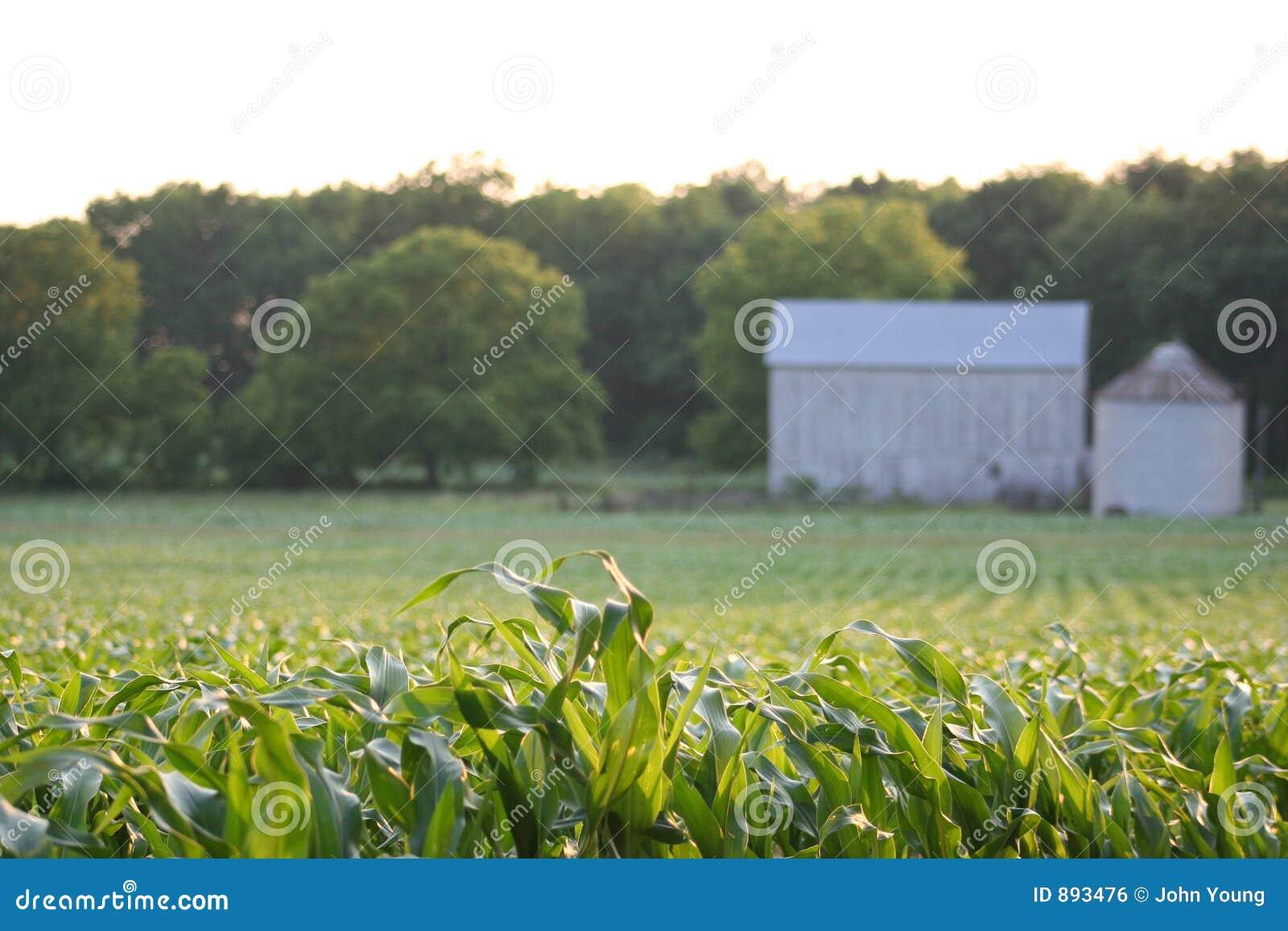 Stodole pole kukurydzy