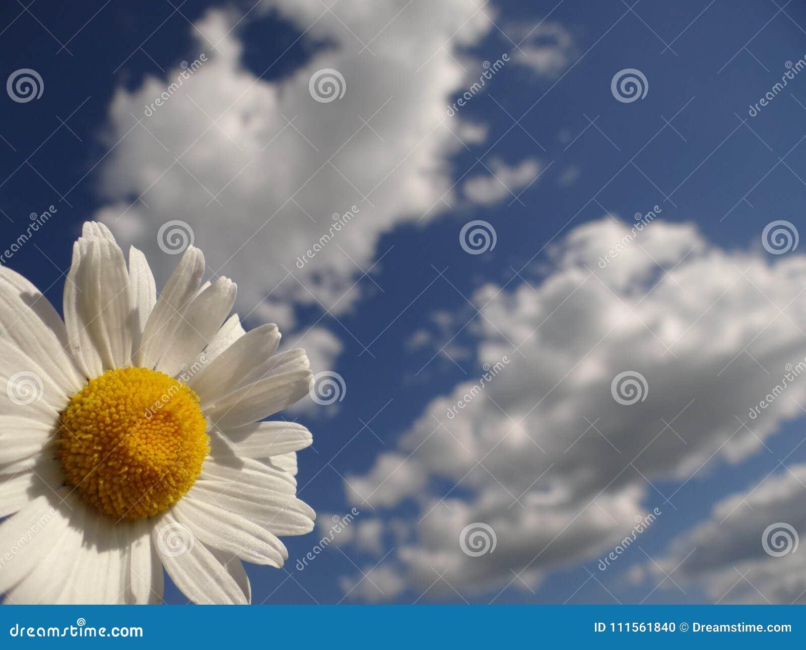 Stokrotka jest jak chmura i słońce w niebie