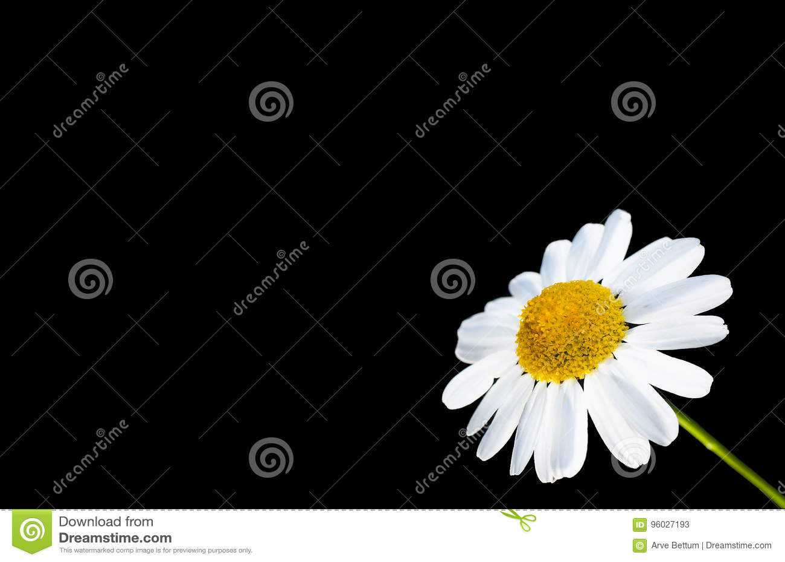 Stokrotka kwiat
