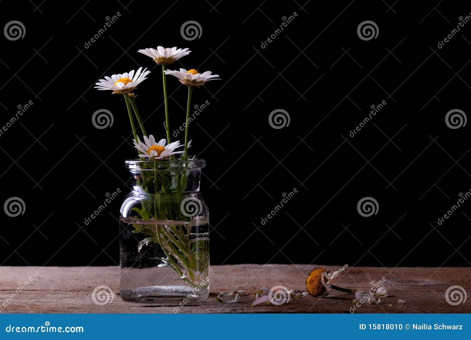 Stokrotka kwiaty