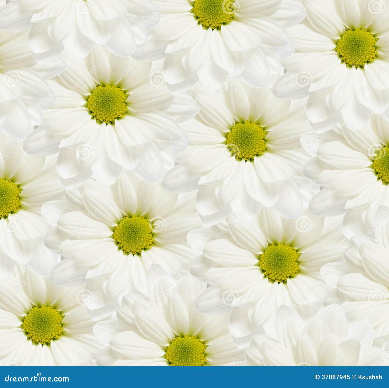 Download Stokrotka kwitnie tło obraz stock. Obraz złożonej z piękno - 37087945