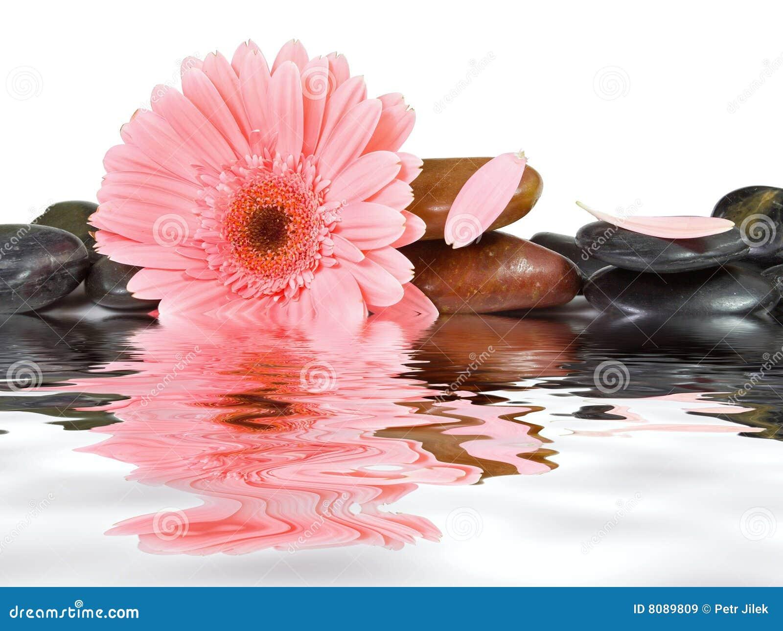 Stokrotki różowi zdroju kamienie