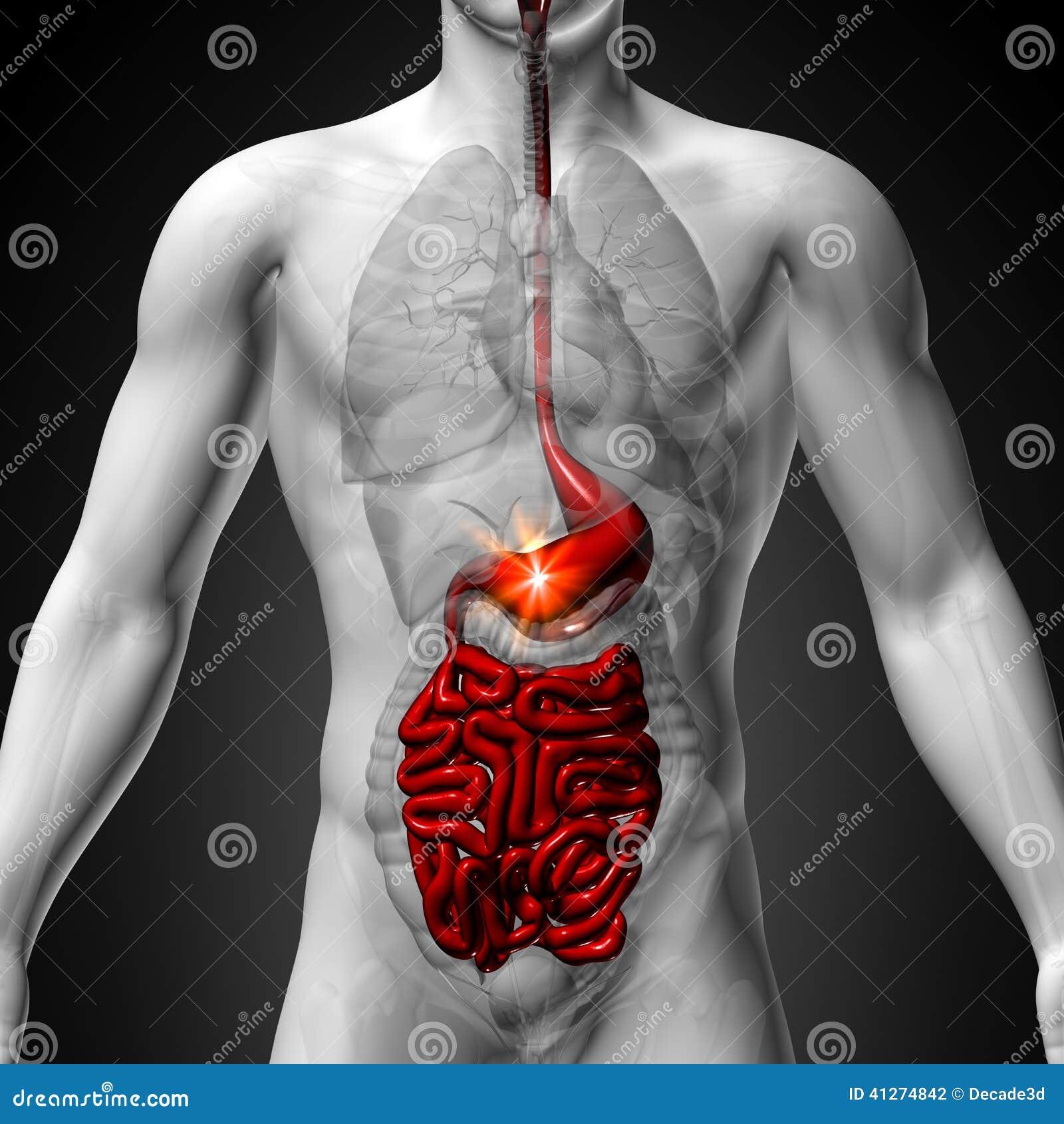 Stomach / Guts / Small Interstine - Male Anatomy Of Human Organs - X ...