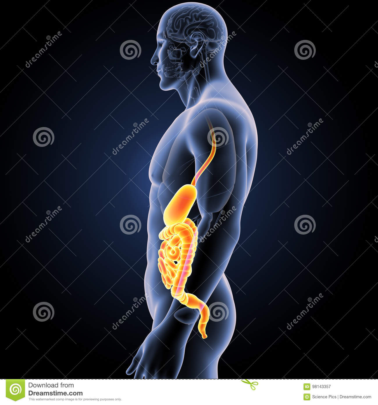 Stomach And Intestine With Organs Lateral View Stock Illustration ...