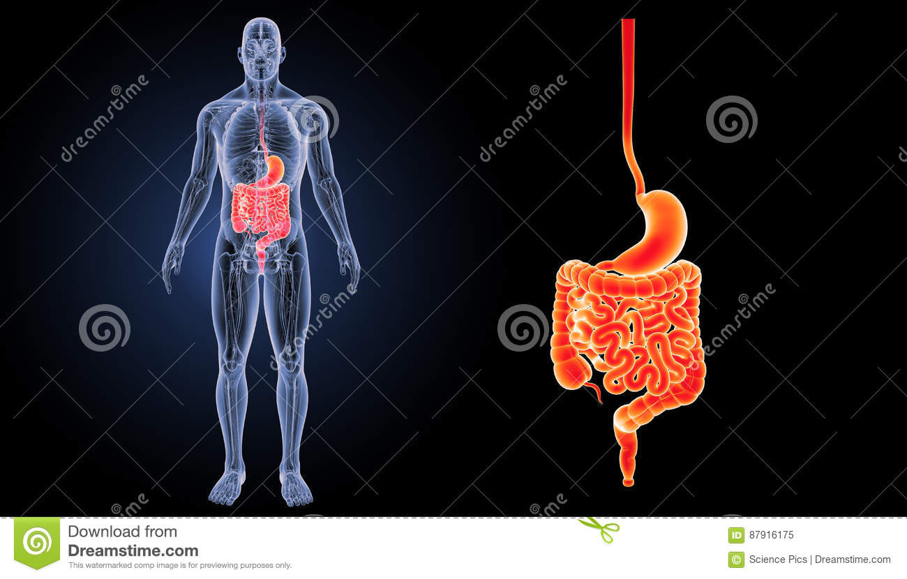 Stomach And Intestine Zoom With Anatomy Anterior View Stock
