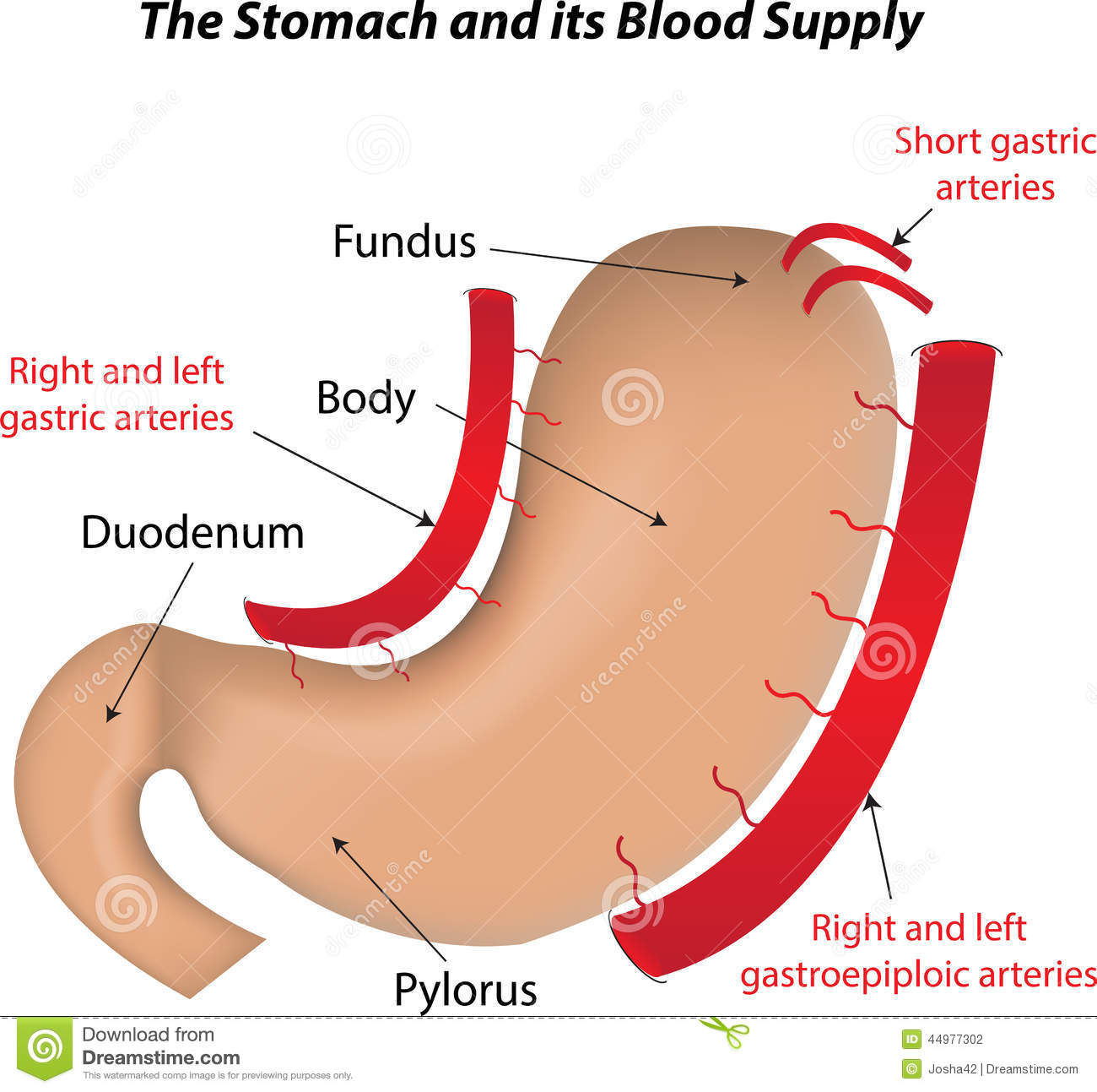 diagram of radioimmunoassay the stomach and its blood supply stock vector image  the stomach and its blood supply stock vector image