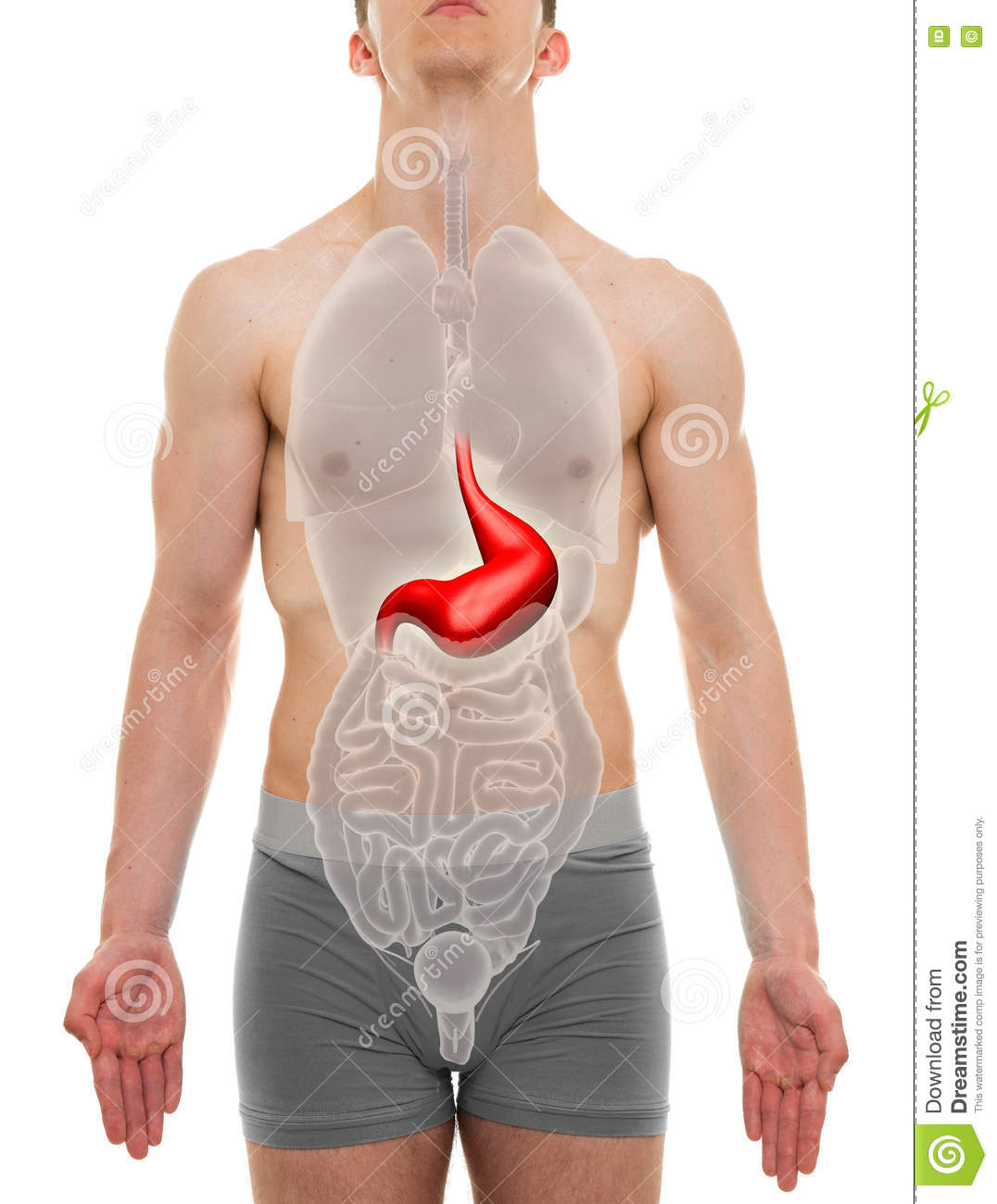 Stomach Male - Internal Organs Anatomy - 3D Illustration Stock Image ...