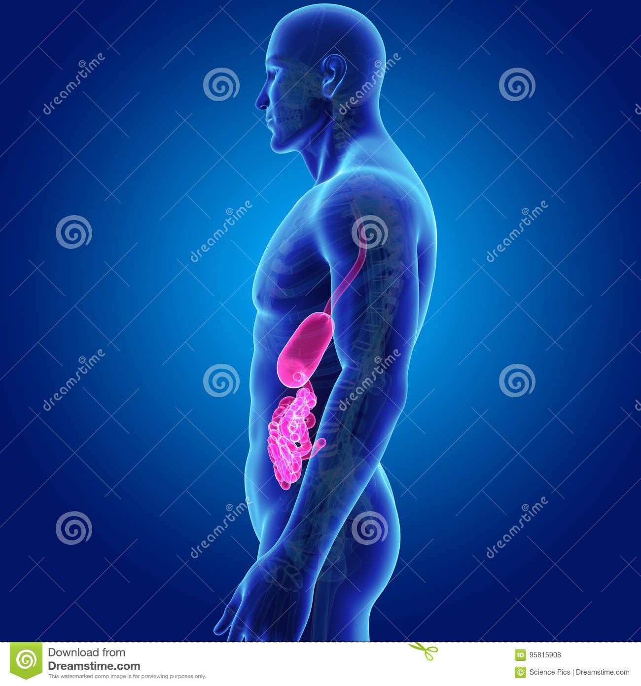 Stomach and small intestine with skeleton body lateral view stock download stomach and small intestine with skeleton body lateral view stock illustration illustration of jejunum ccuart Gallery