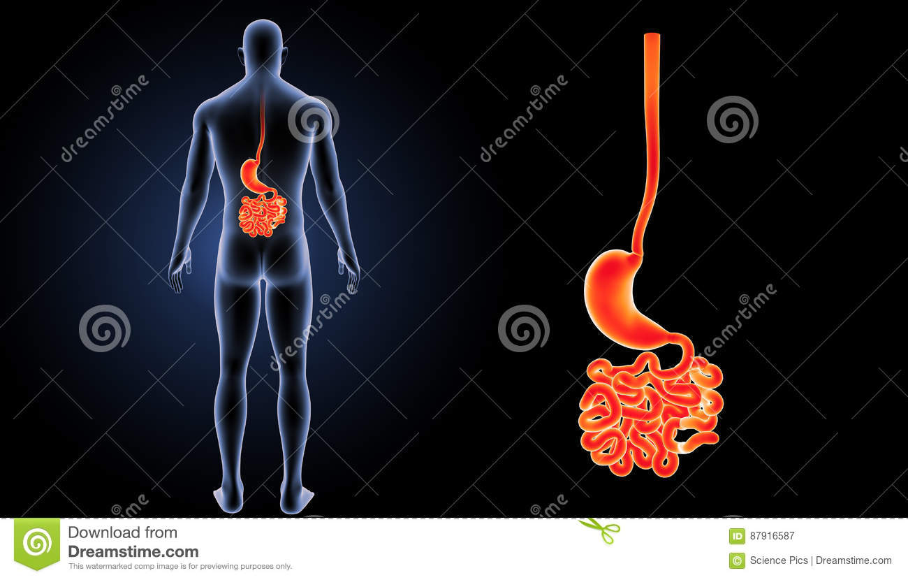 Stomach With Small Intestine Posterior View Stock Illustration