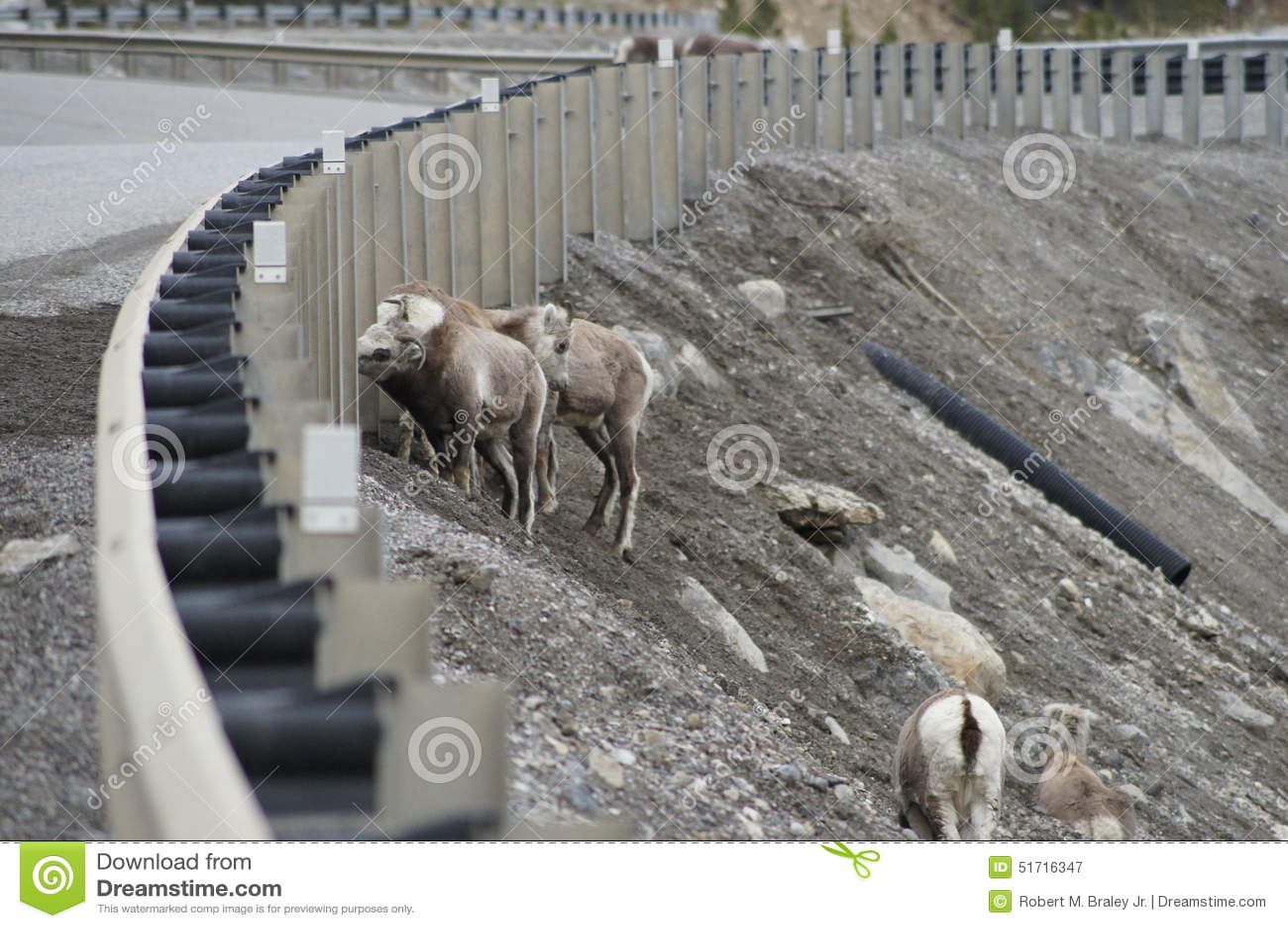 Stone Sheep Alaska Highway Canada