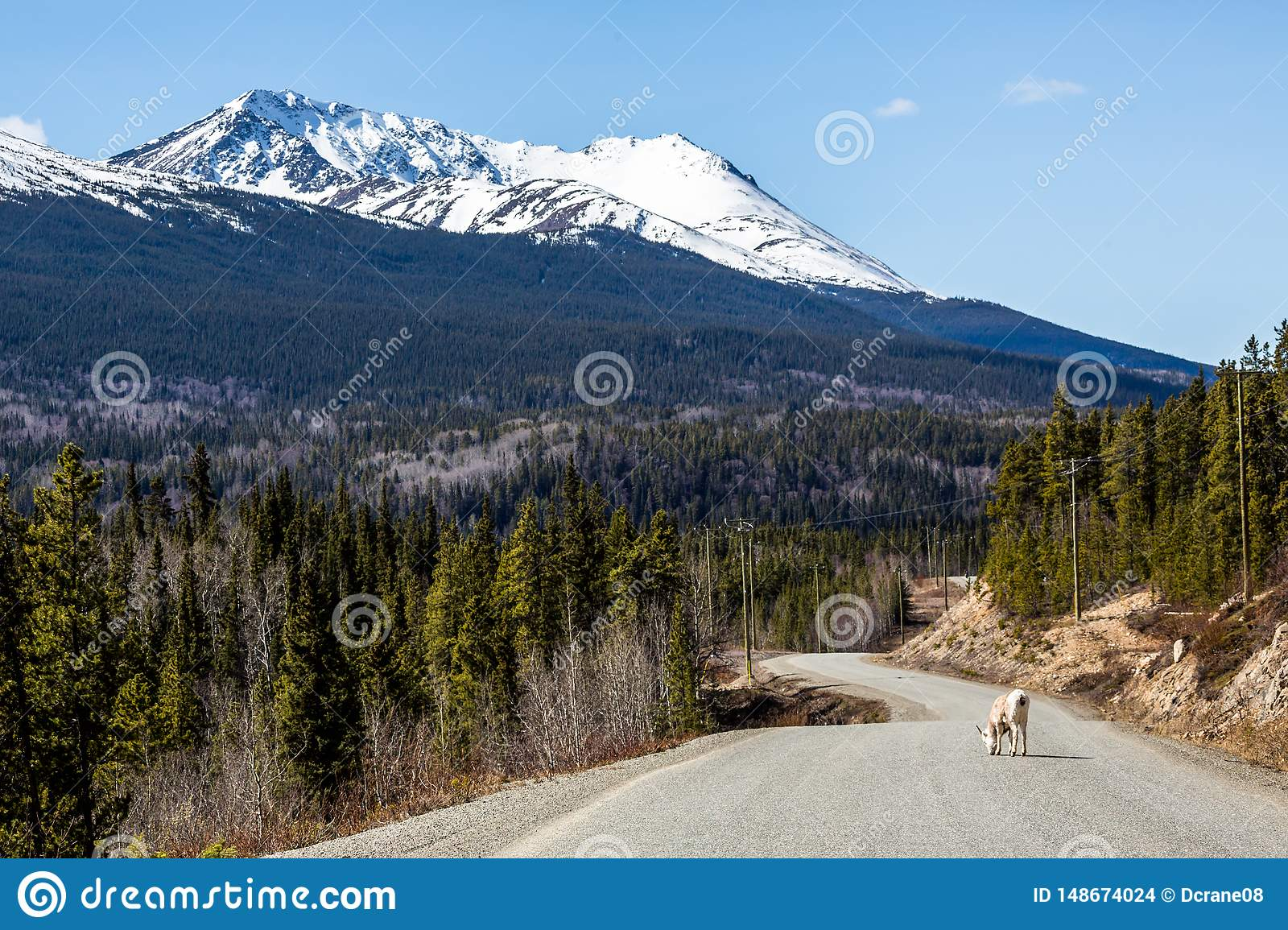 Stone Sheep ewe licking salt from the Cassiar Highway paved road