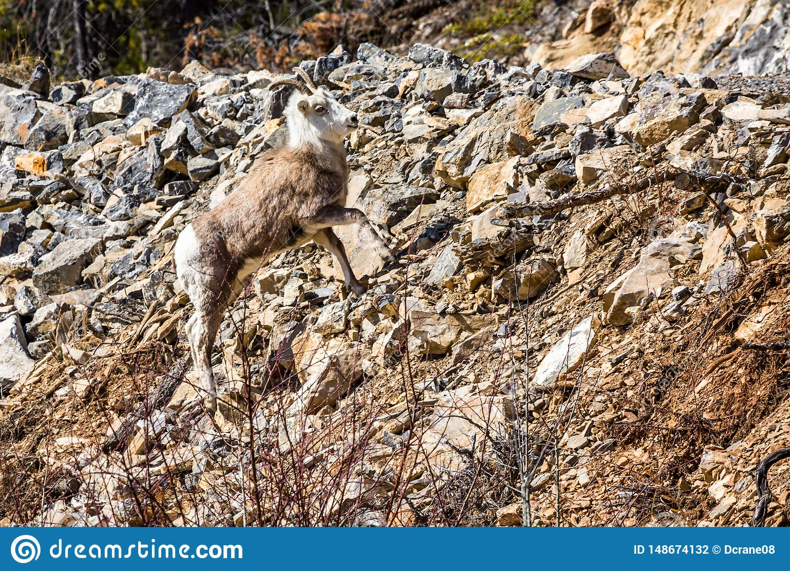 Stone Sheep ewe on steep hillside of loose rocks. Roadside in the Yukon Territory of northern Canada