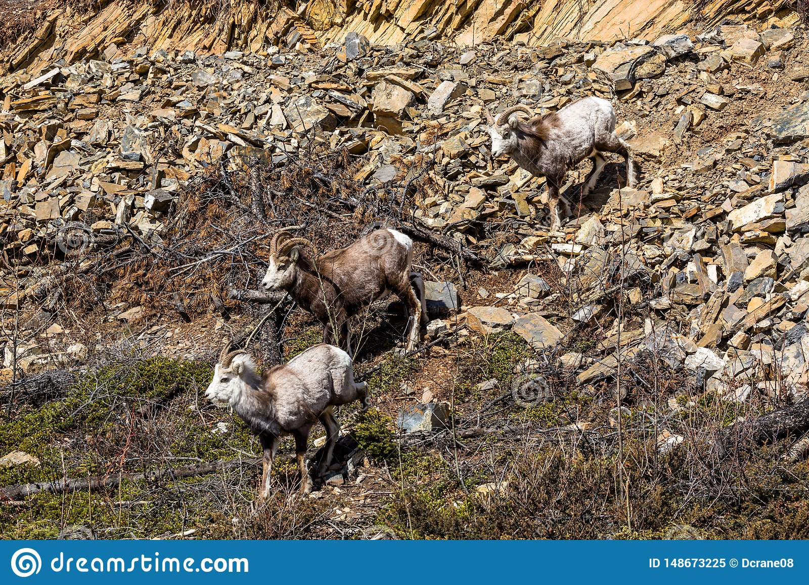 Stone Sheep herd in the Yukon near the Cassiar Highway