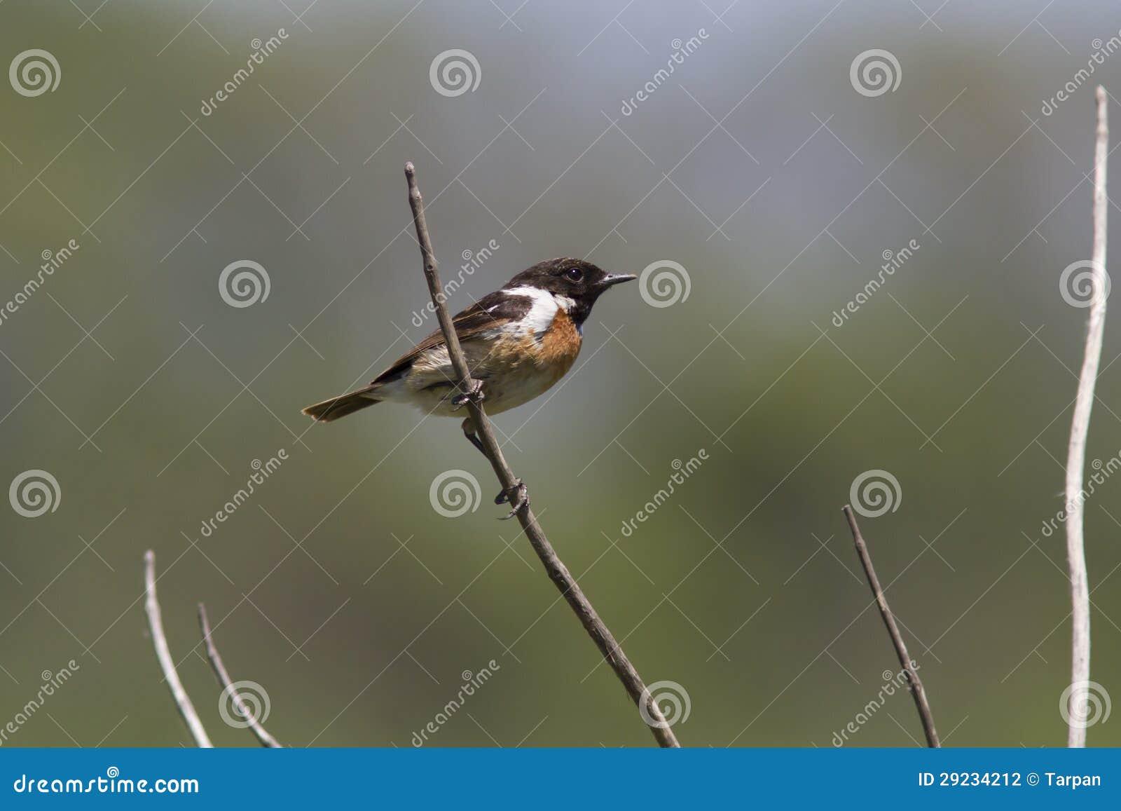 Download Stonechat Masculino Que Senta-se Em Um Ramo Seco No Deserto. Foto de Stock - Imagem de nave, wildlife: 29234212