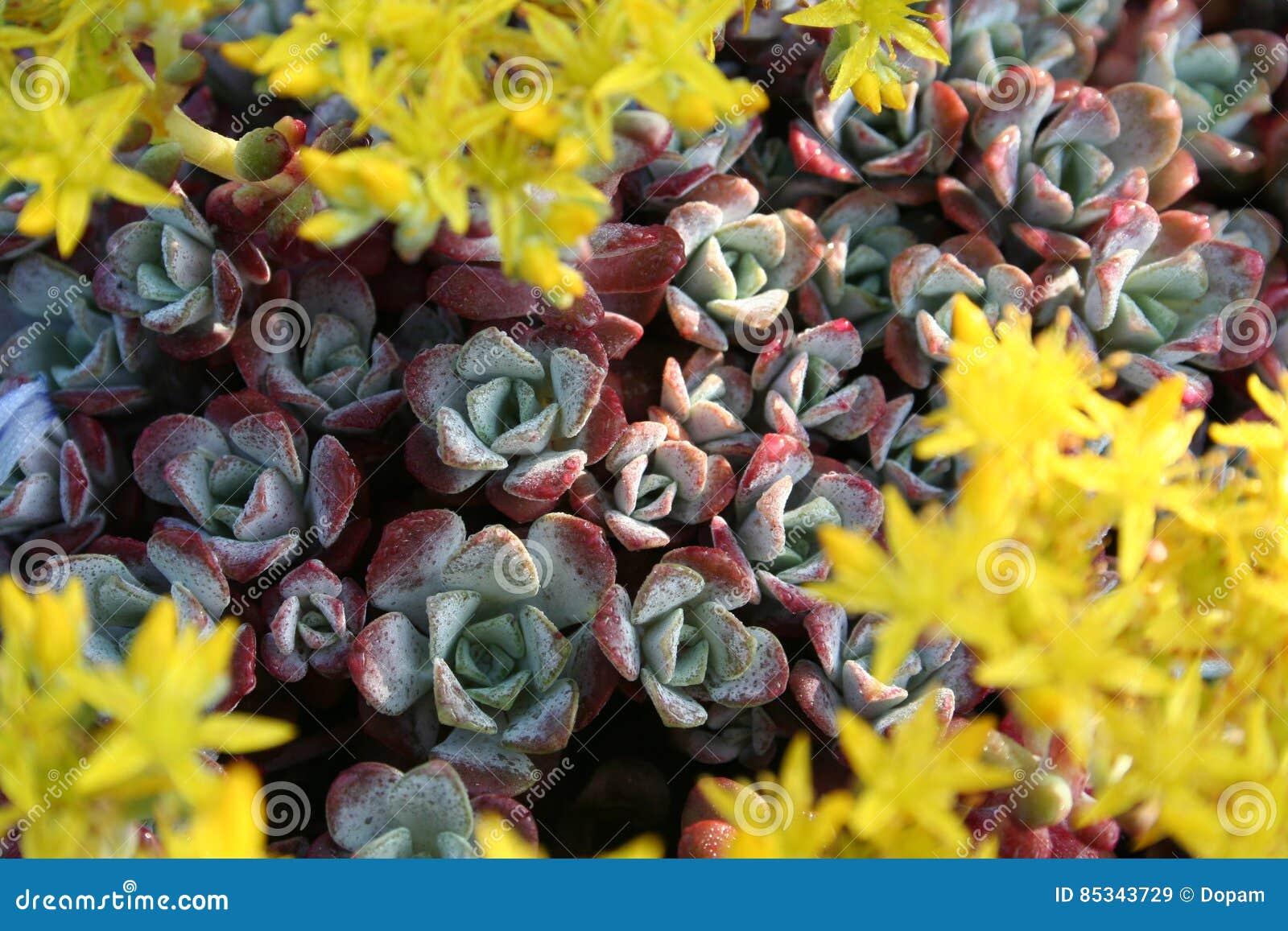 Stonecrop sedum with yellow flowers stock image image of selective download comp mightylinksfo