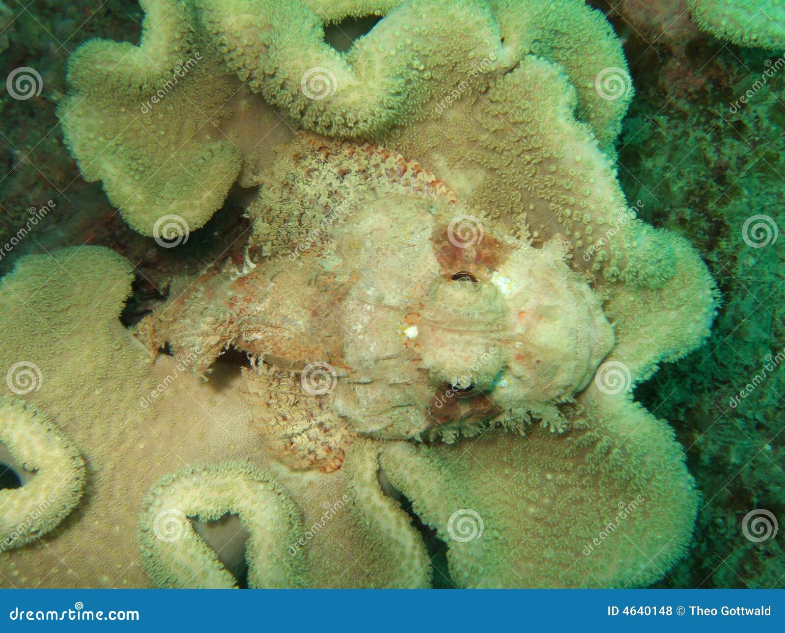 Stonefish camuflado