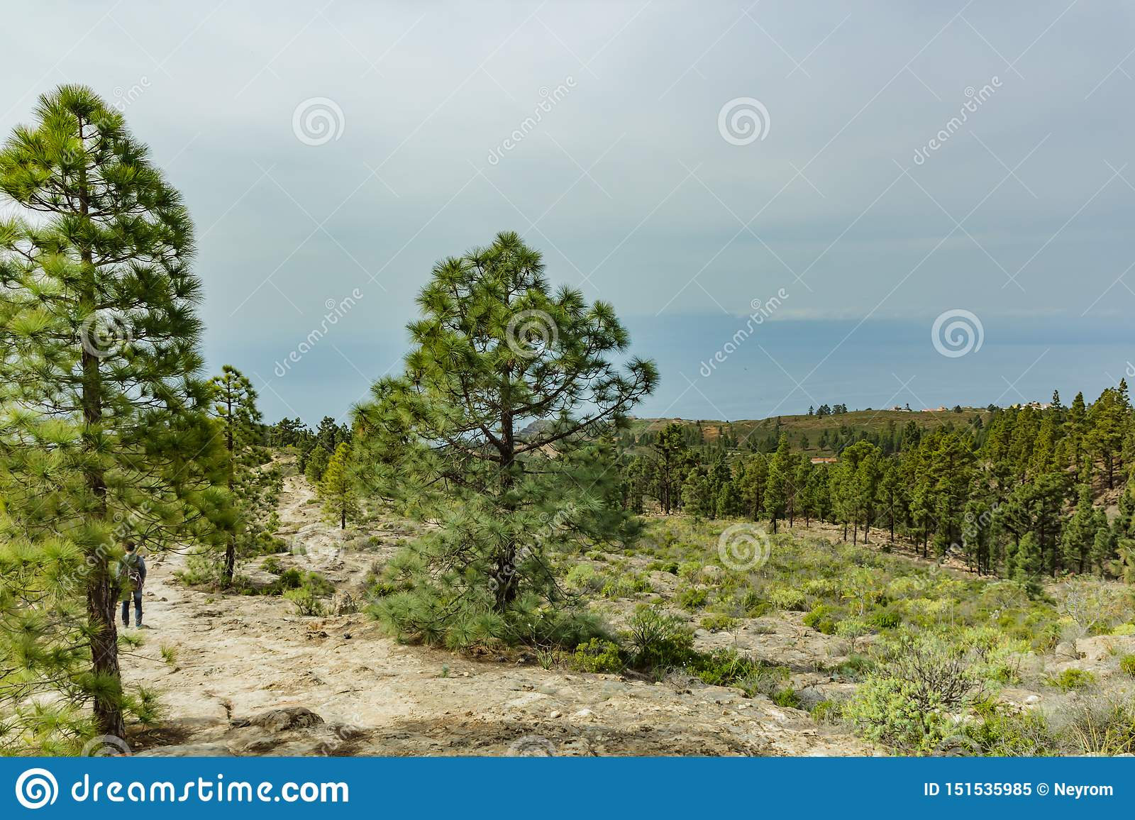 Stony path at upland surrounded by pine trees at sunny day. Clear blue sky and some clouds along the horizon line. Rocky tracking