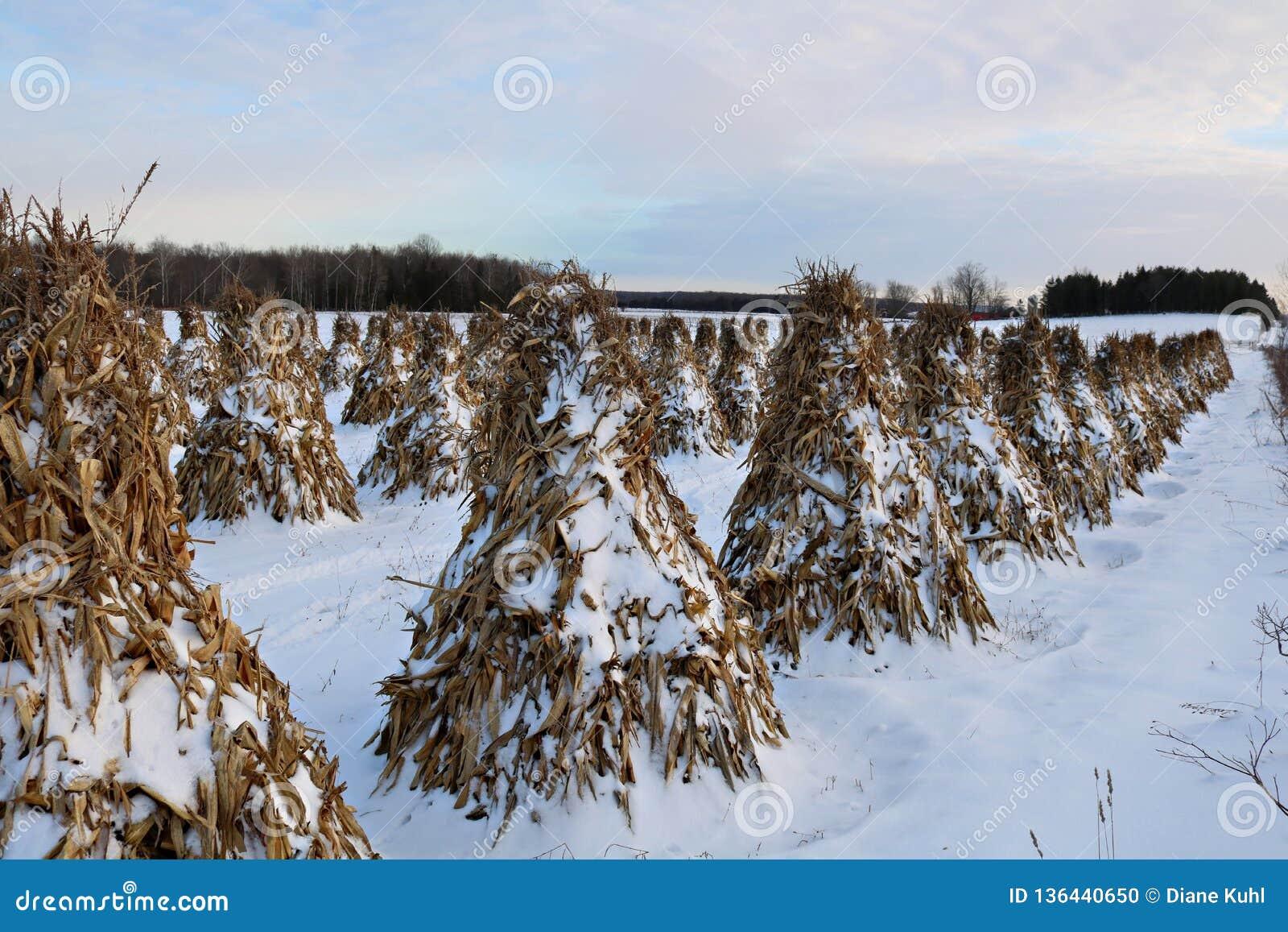 Stooked havrestjälk ställde upp i fältet på en fridsam afton i snön