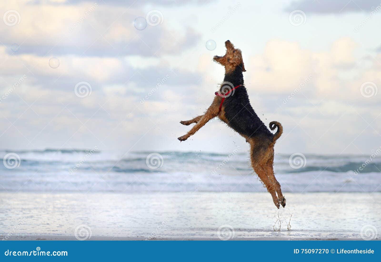 Stor banhoppningspring för älsklings- hund som spelar på stranden i sommar