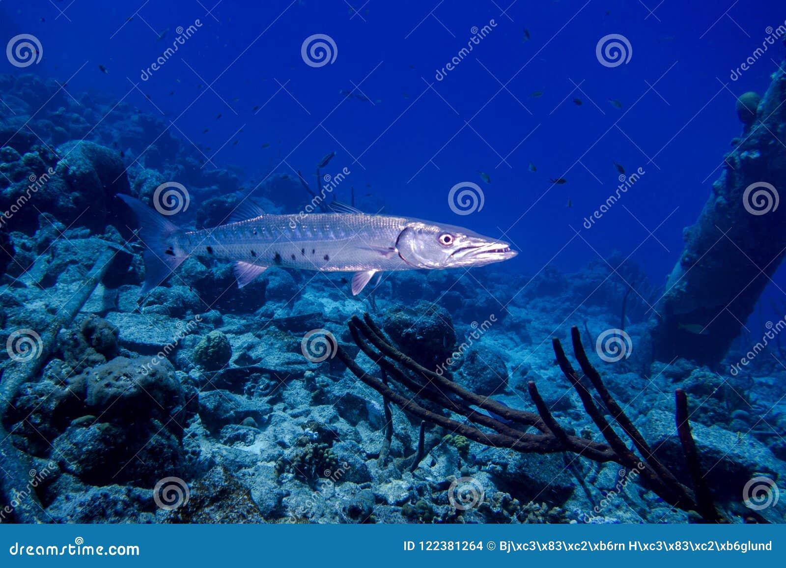 Stor barracuda