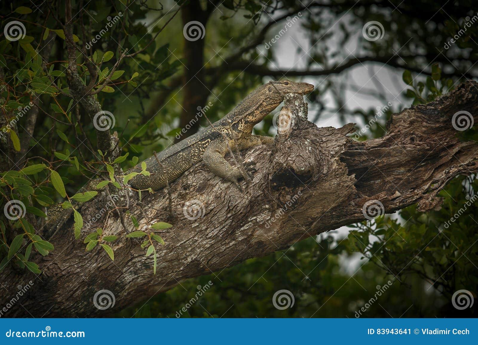 Stor bildskärmödla på ett träd i Sundarbans i Indien