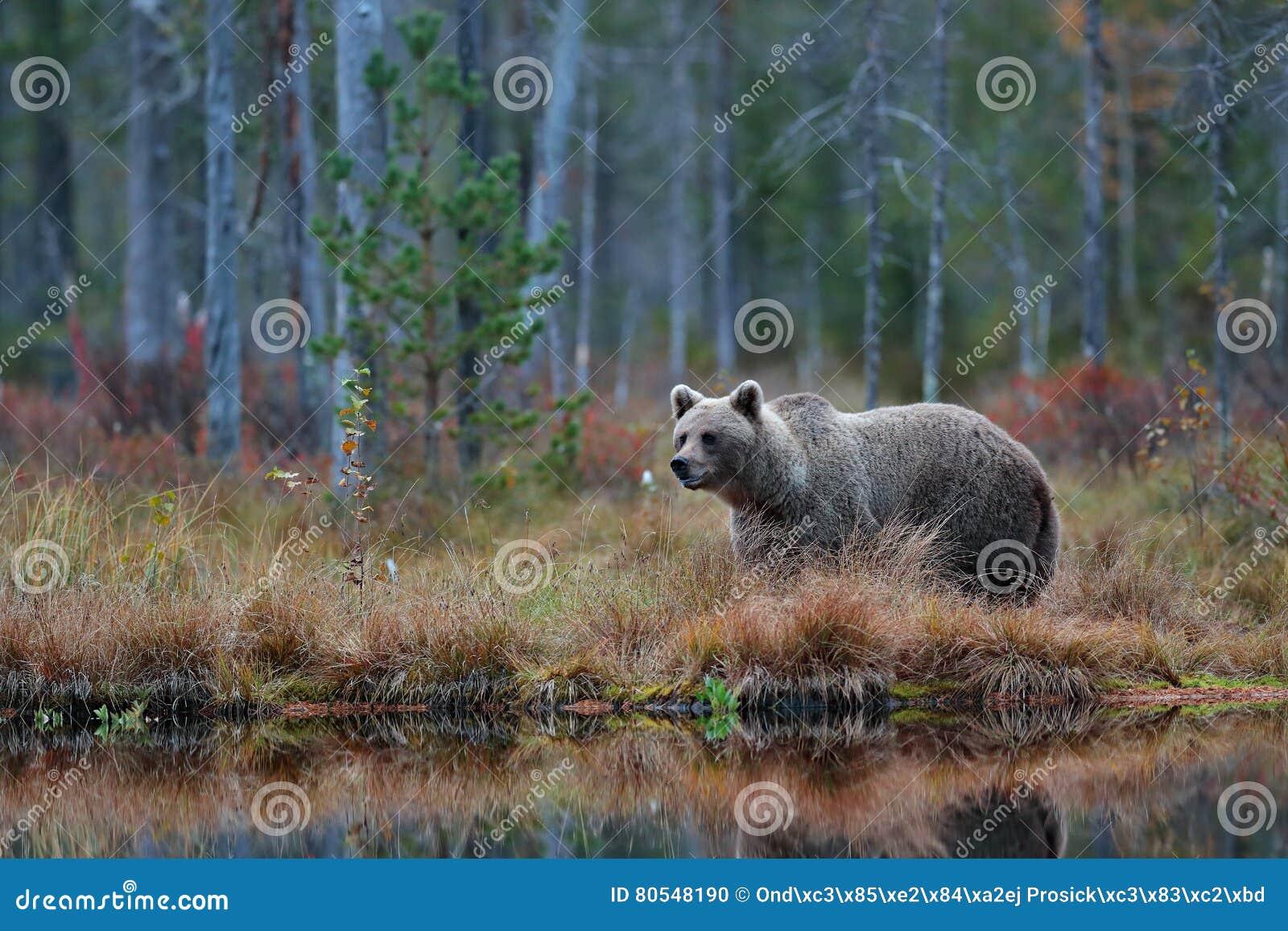 Stor brunbjörn som går runt om sjön i morgonsolen Farligt djur i skogdjurlivplatsen från Europa Brun fågel i t