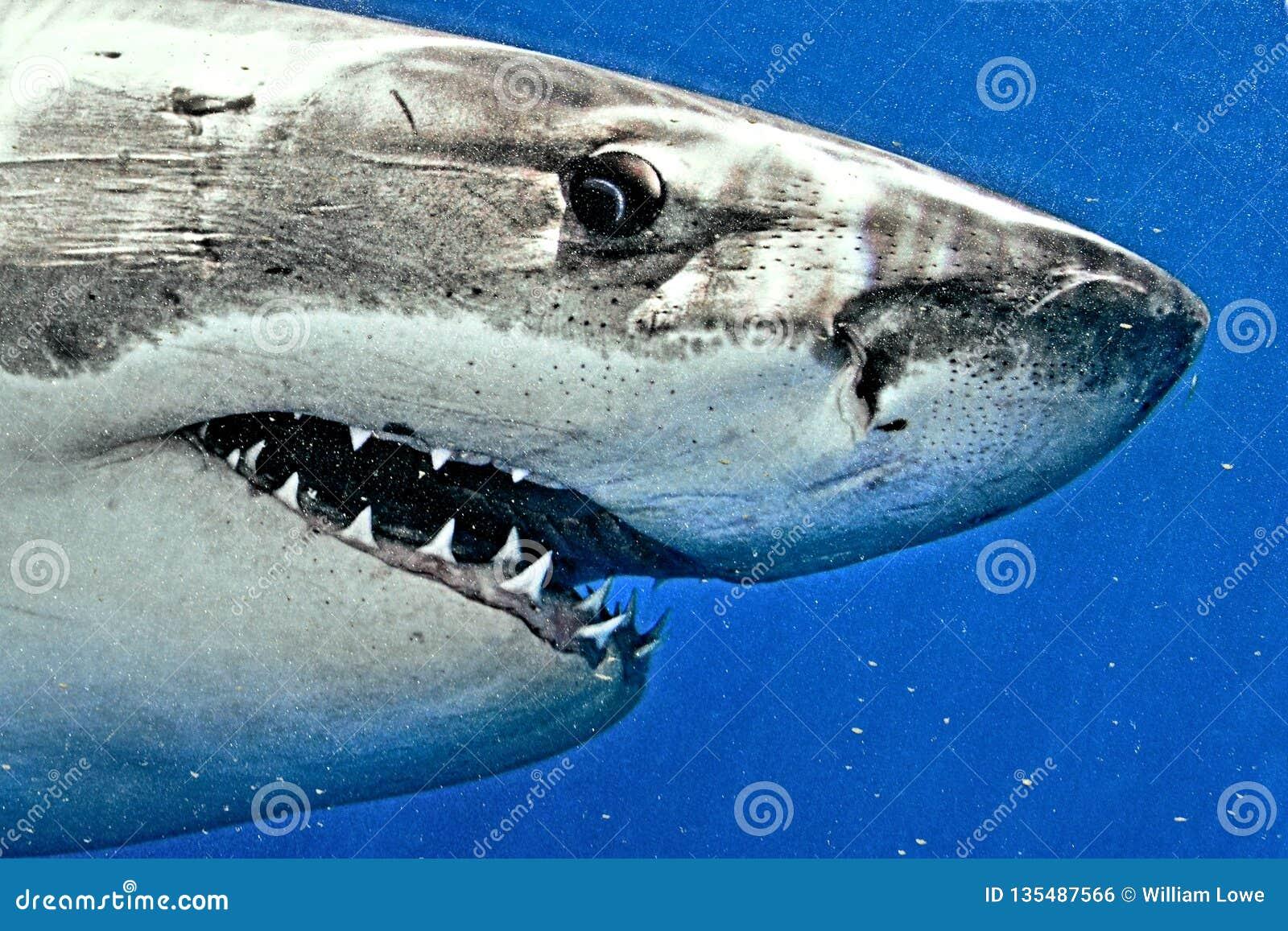 Stor closeup för vit haj