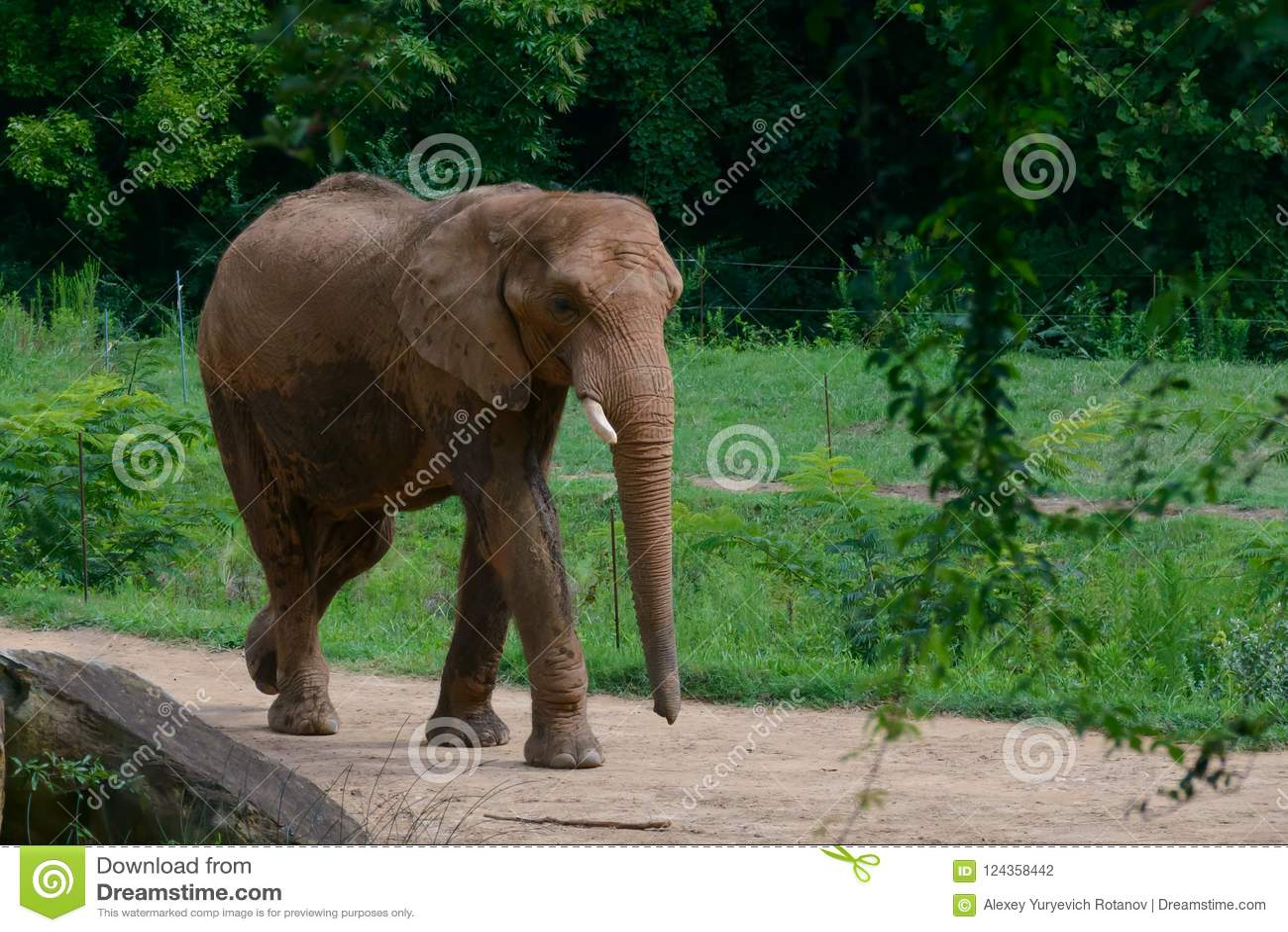 Stor elefant i skogbakgrunden
