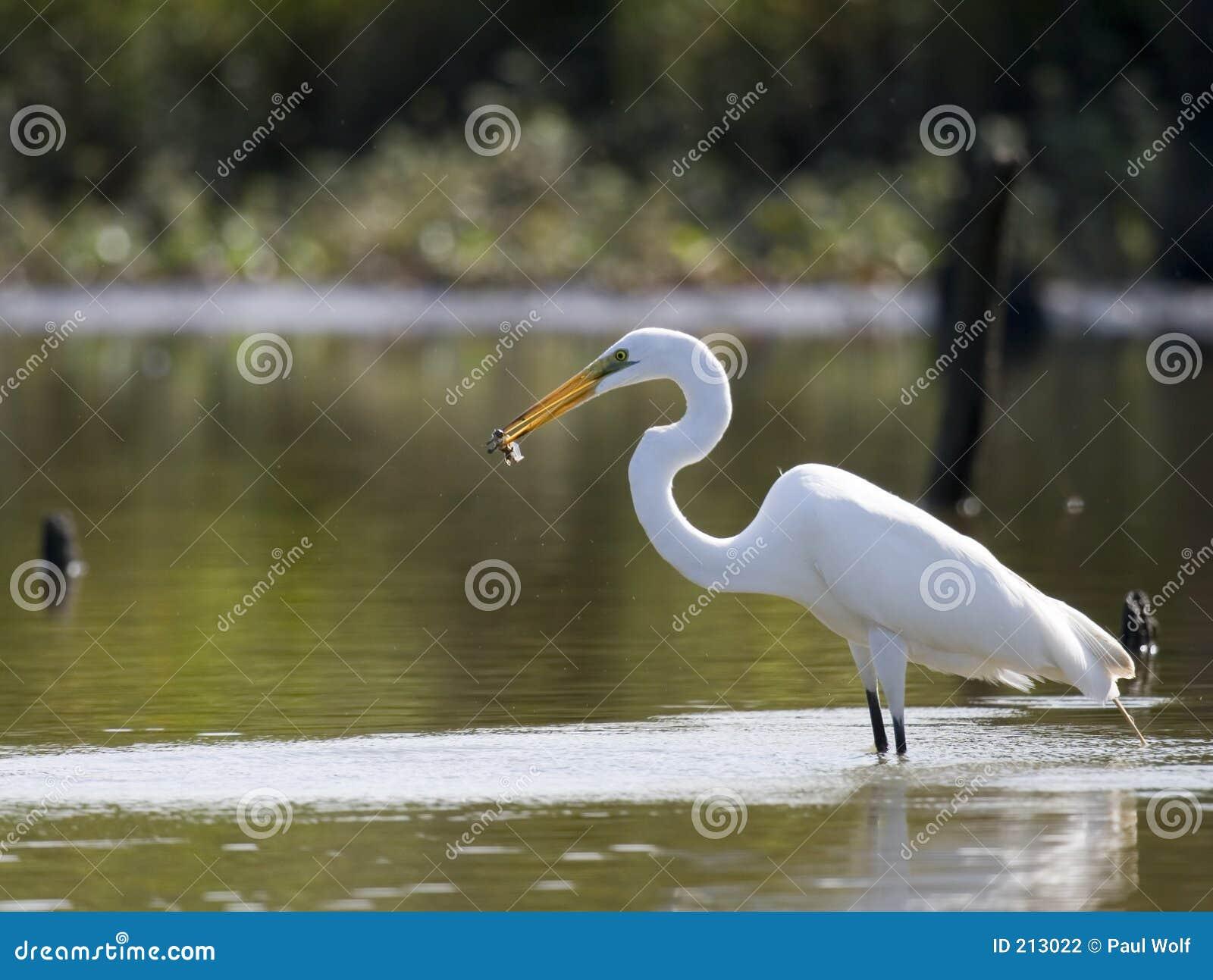 Stor fisk för 2 egret