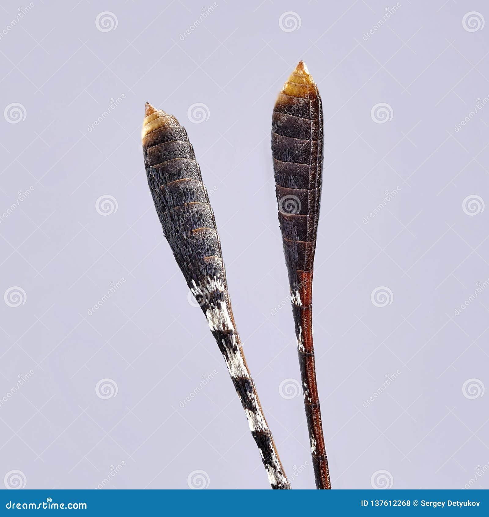 Stor fjärilsmustasch Stapla för makro close upp kryp