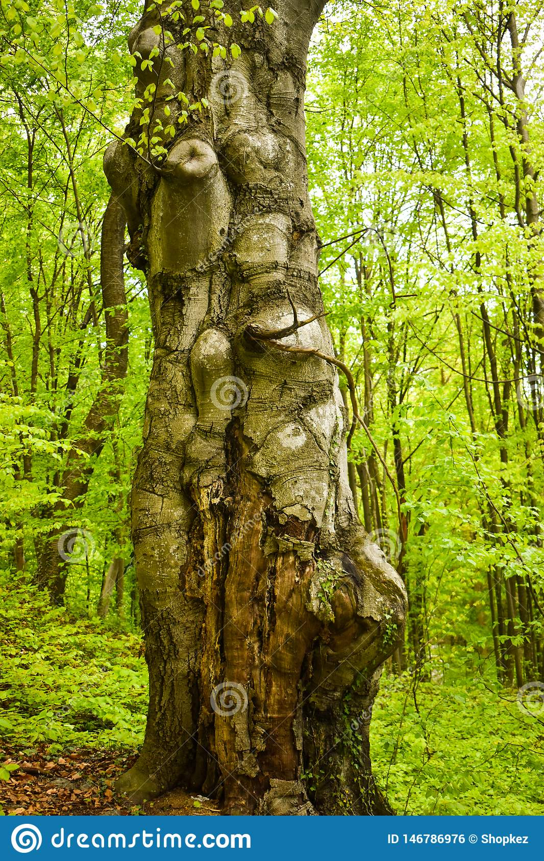 Stor gammal och vriden stam i den gröna skogen i en vårdag